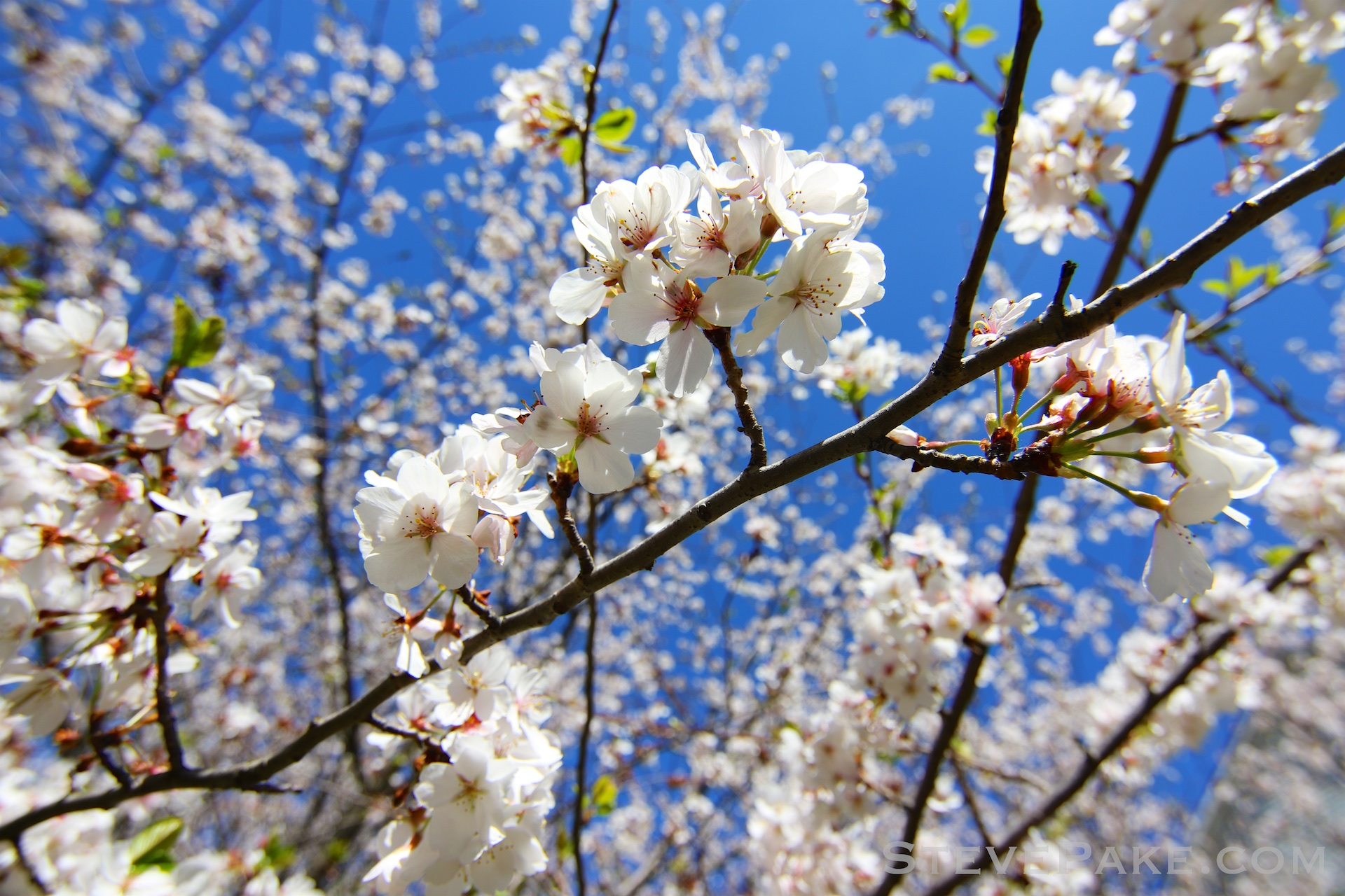 GE3A5911ap-2k_DC-Cherry-Blossoms-WM.jpg