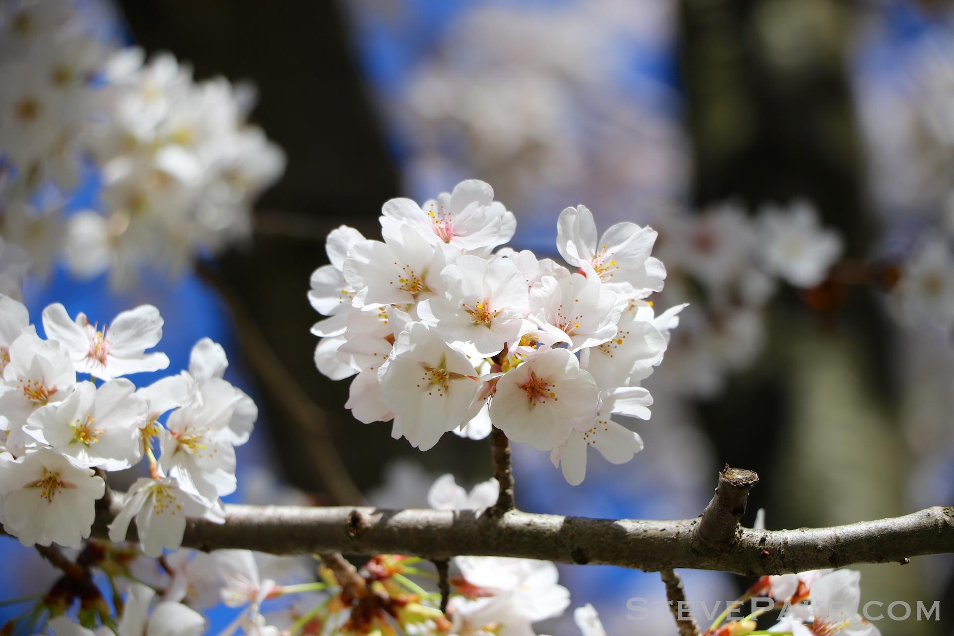 GE3A5916ap-2k_DC-Cherry-Blossoms-WM.jpg