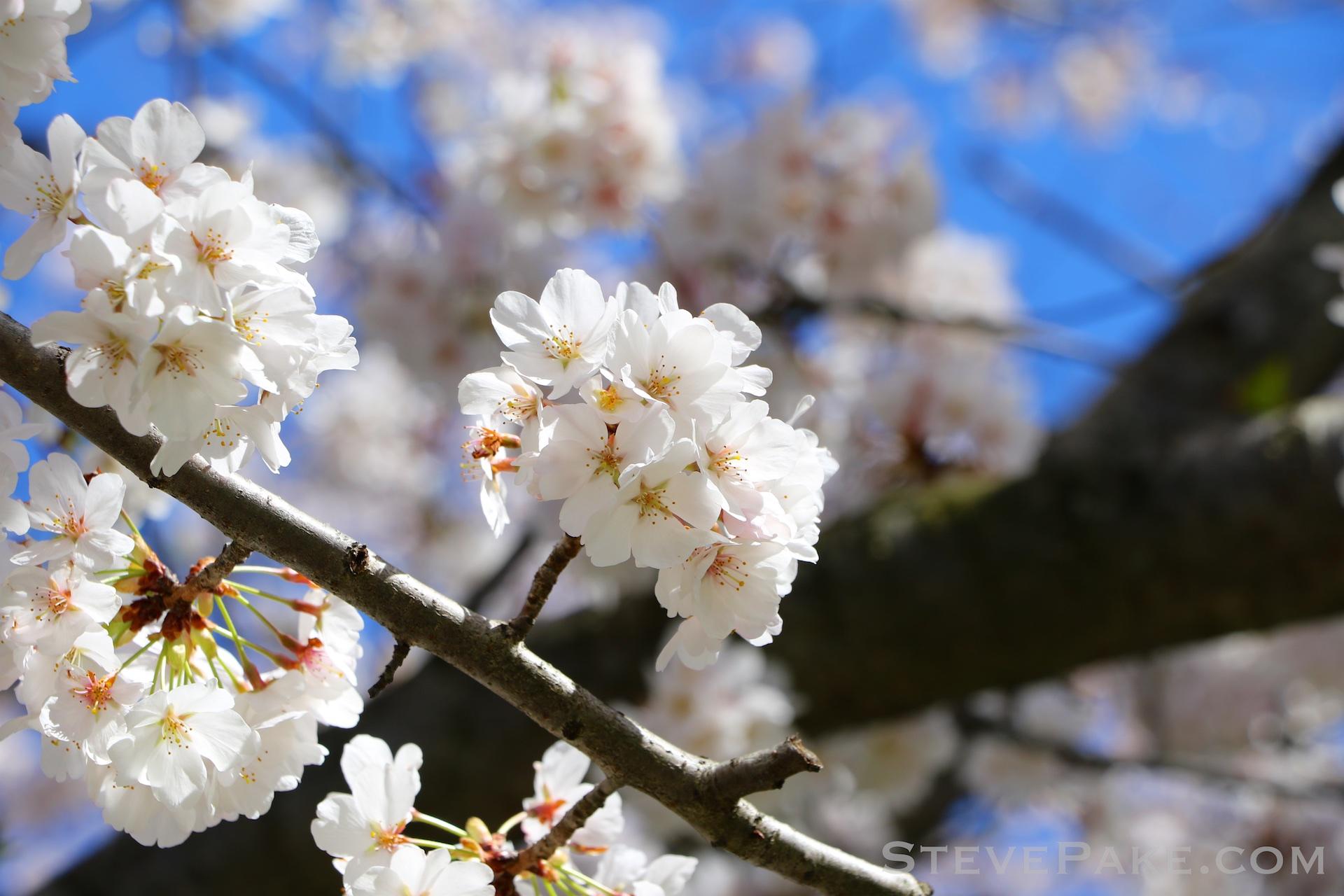 GE3A5918ap-2k_DC-Cherry-Blossoms-WM.jpg