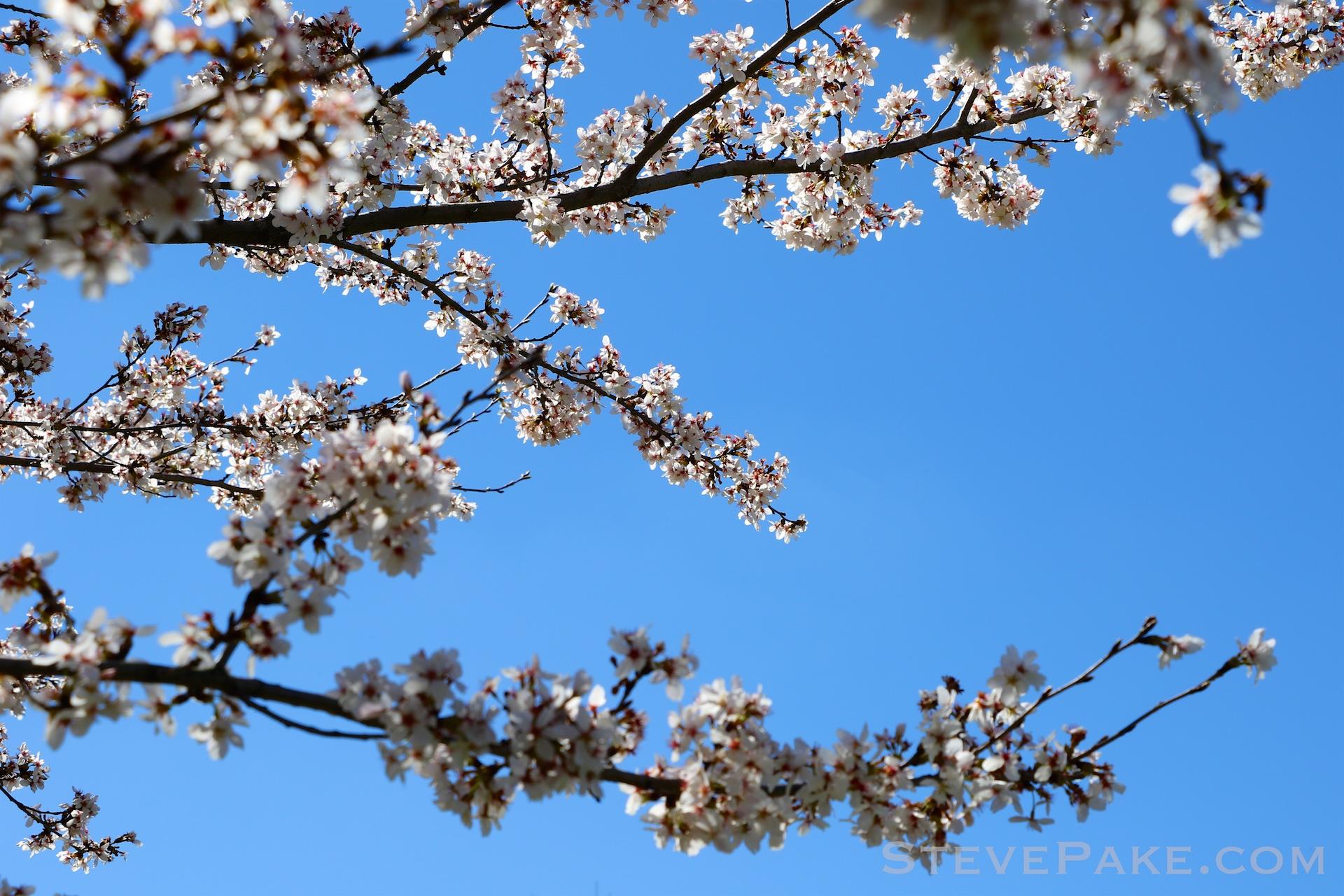 GE3A5922ap-2k_DC-Cherry-Blossoms-WM.jpg