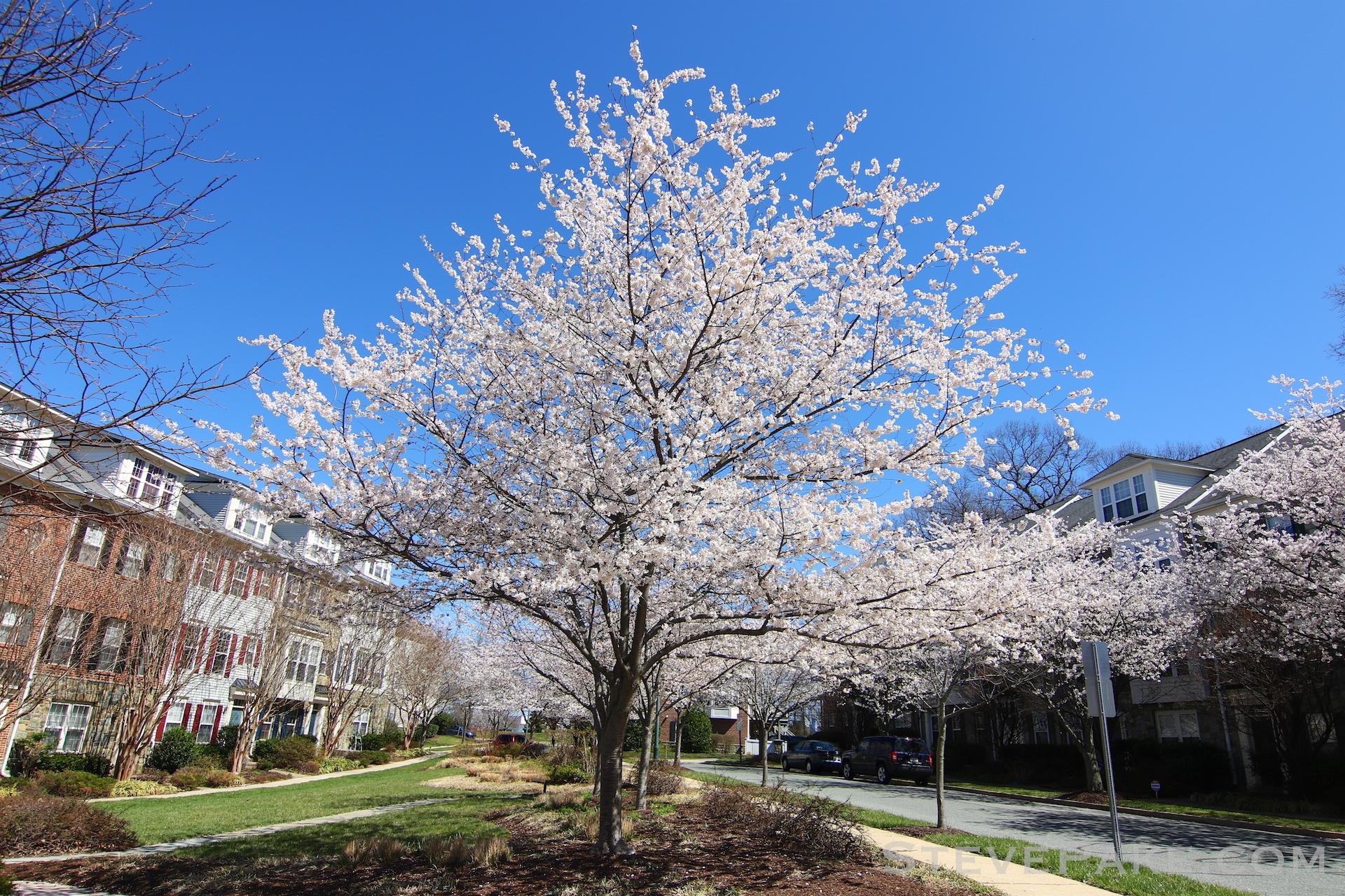 GE3A5935ap-2k_DC-Cherry-Blossoms-WM.jpg