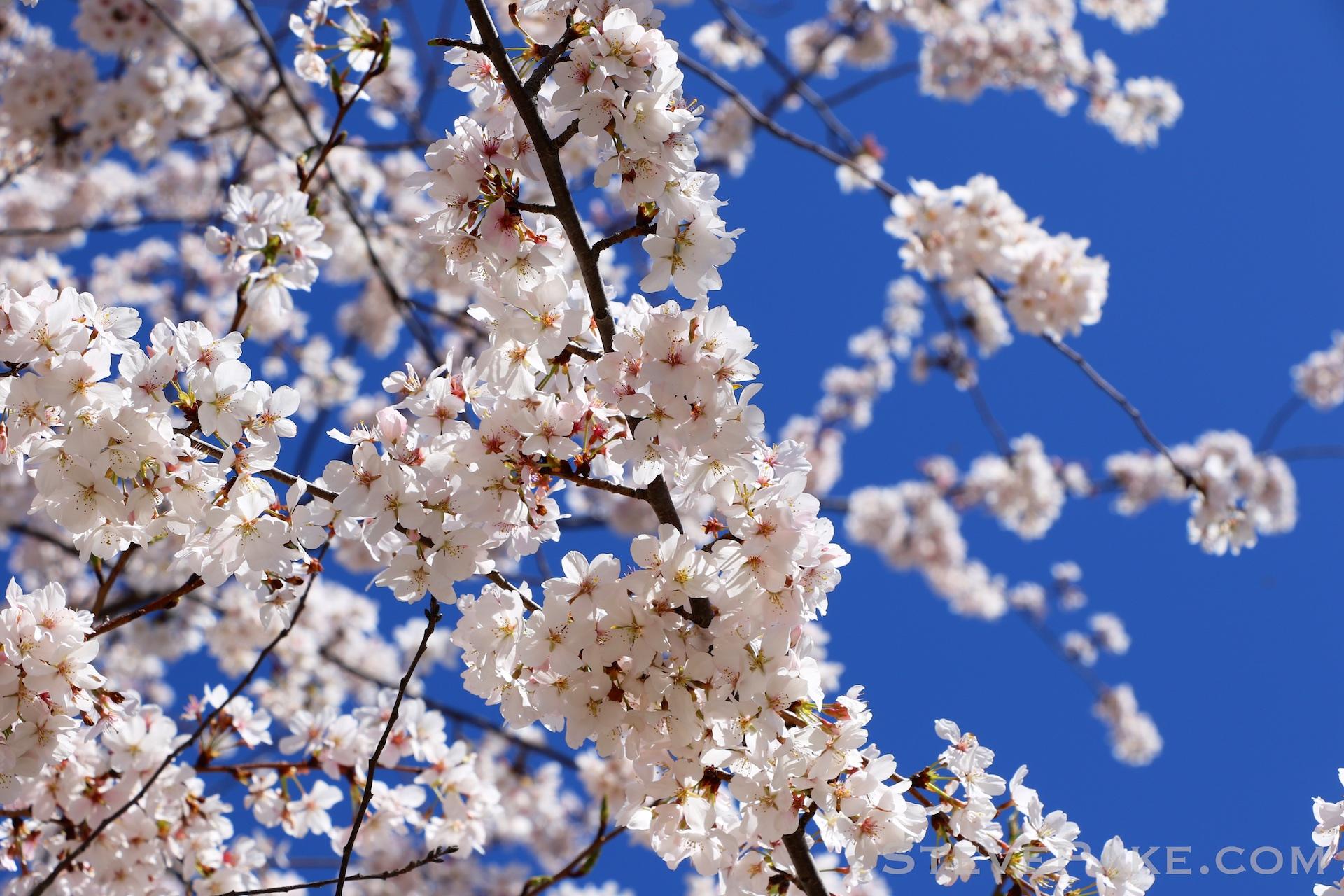 GE3A5936ap-2k_DC-Cherry-Blossoms-WM.jpg