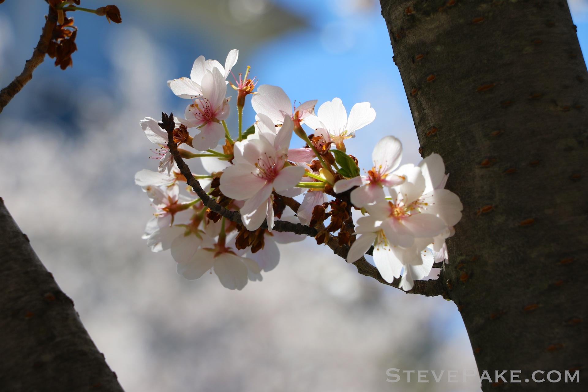 GE3A5941ap-2k_DC-Cherry-Blossoms-WM.jpg