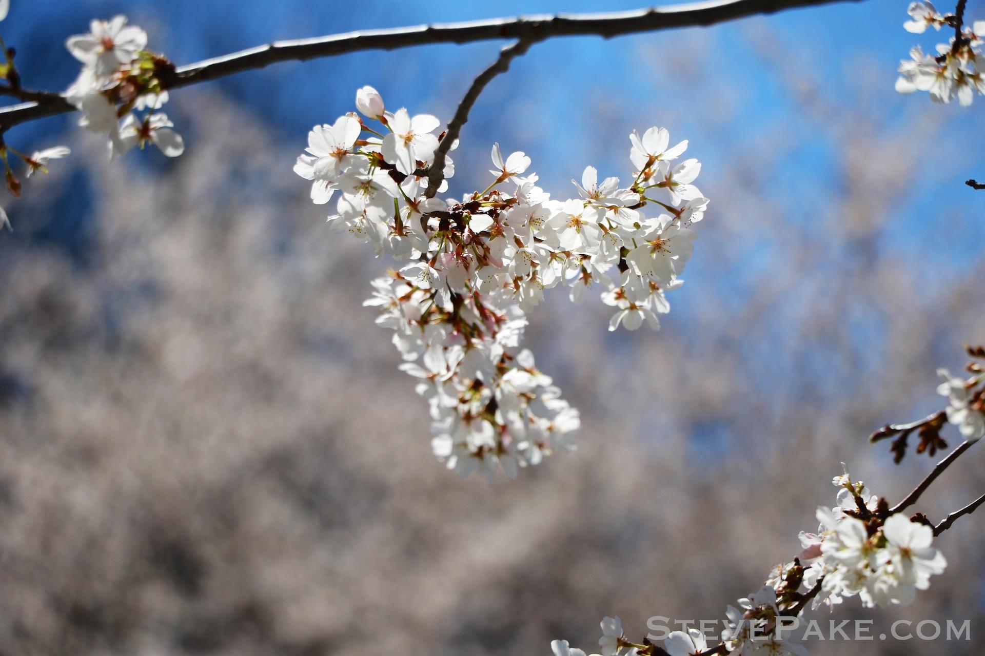 GE3A5943ap-2k_DC-Cherry-Blossoms-WM.jpg