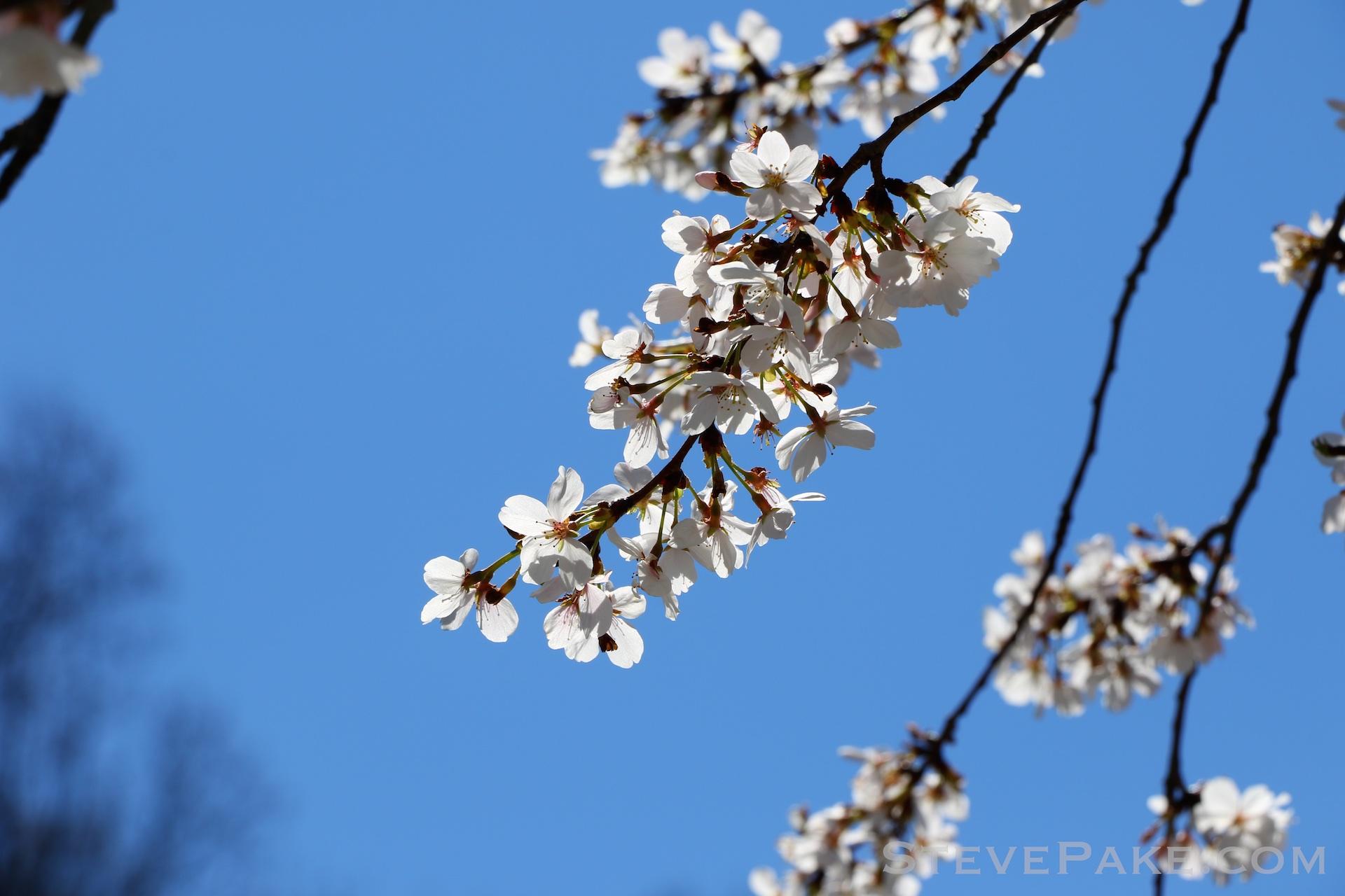 GE3A5944ap-2k_DC-Cherry-Blossoms-WM.jpg