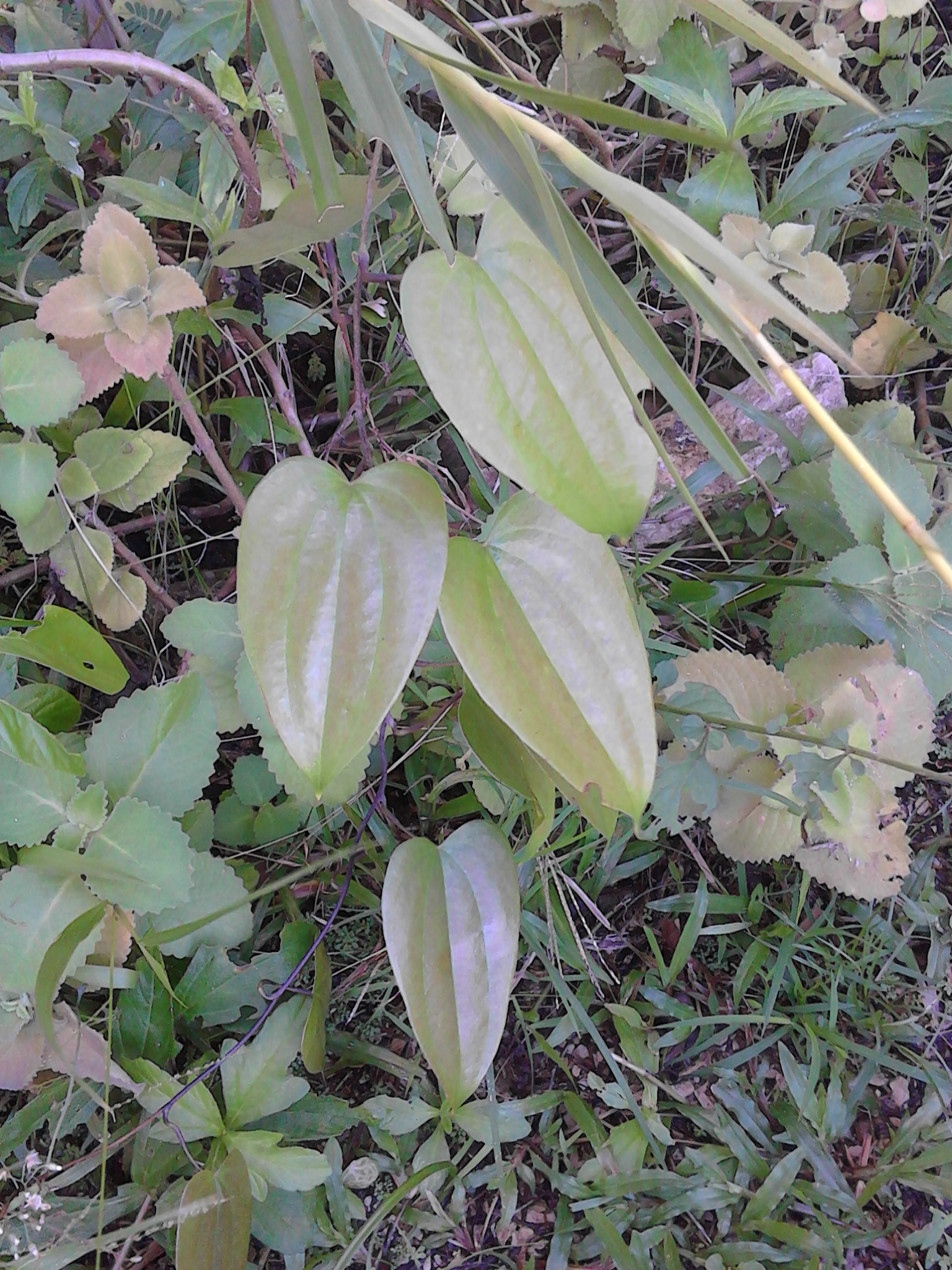 Wild Yam Pictures 011.jpg