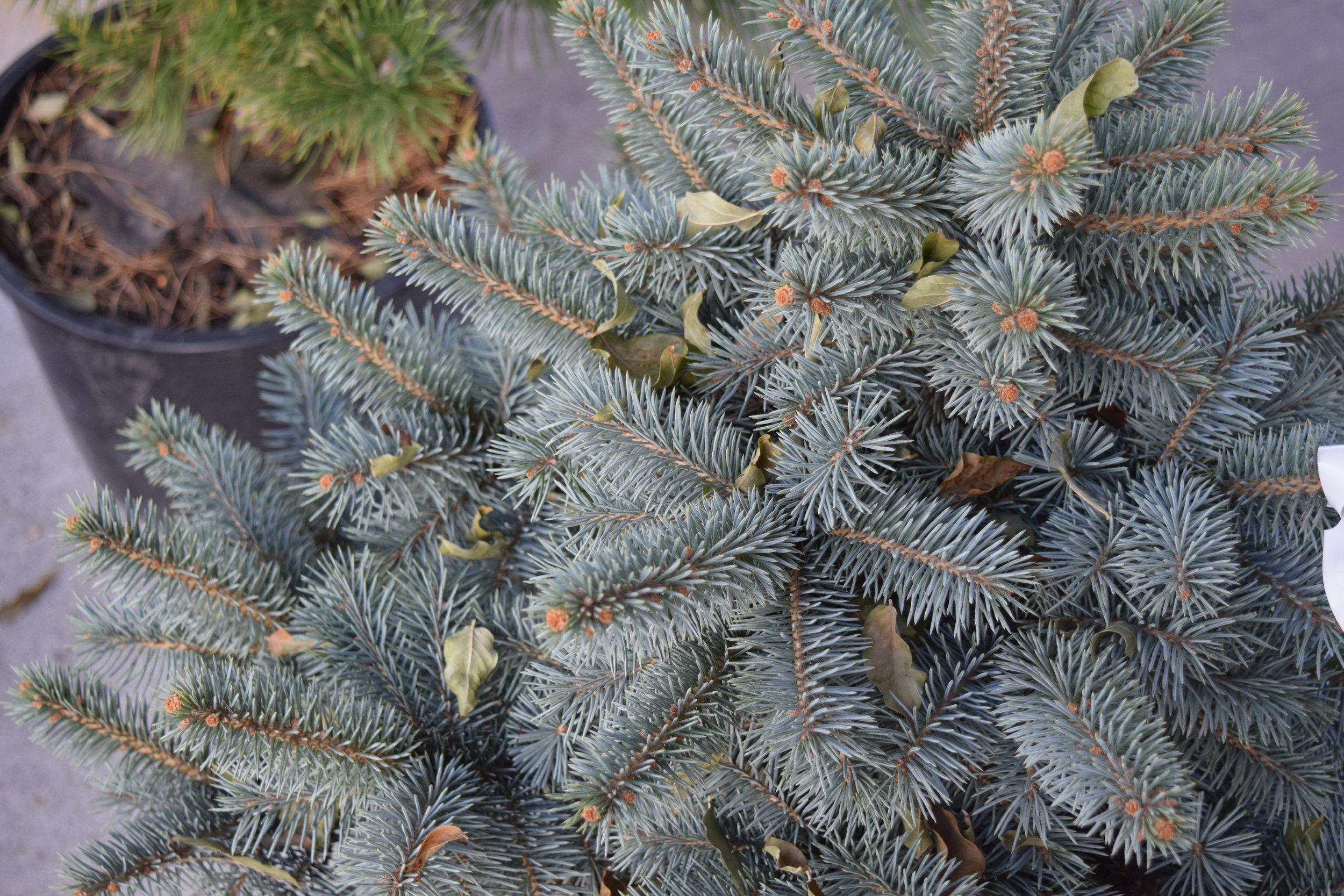 Blue Spruce Zafiro