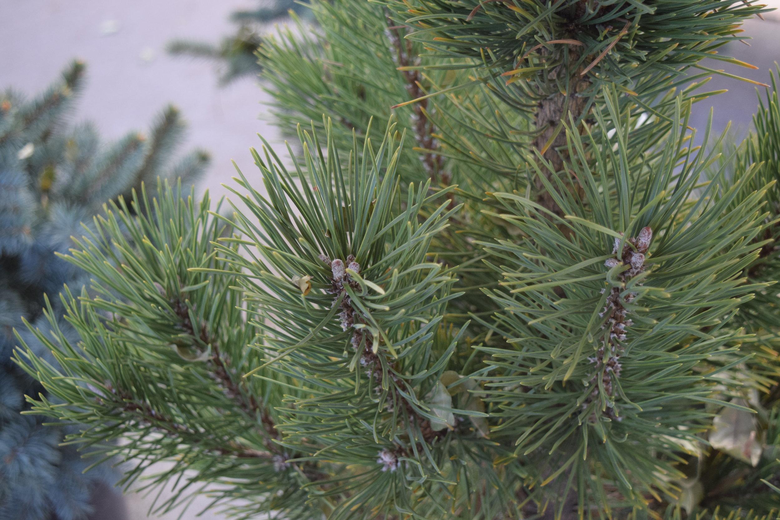 Mugo Pine Tannenbaum