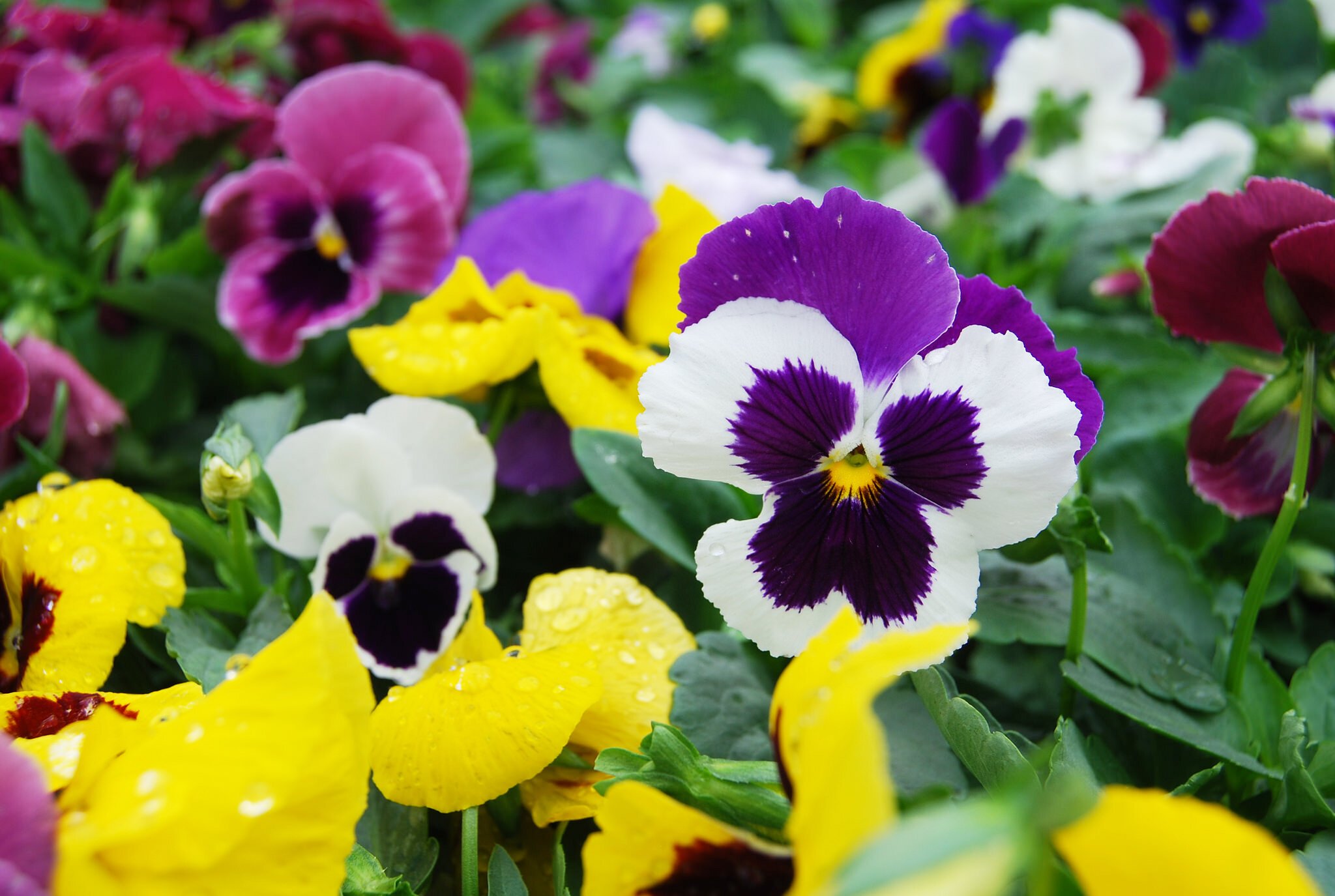 Color Your Garden   Southwood Grown Pansies Are arriving daily