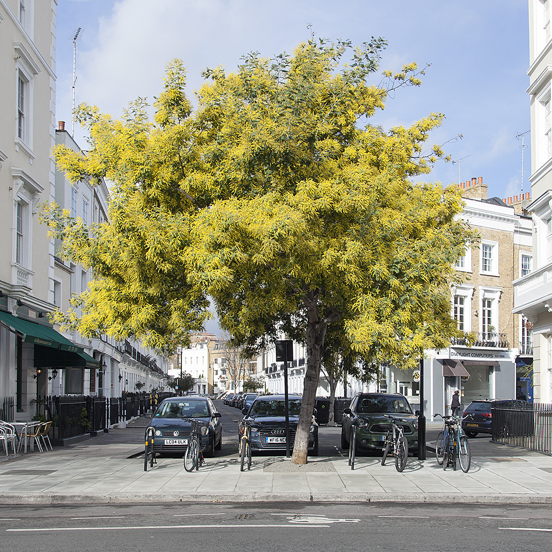 Just one of hundreds of stunning images of London's street trees contained in this book. This is a Mimosa in Pimlico!