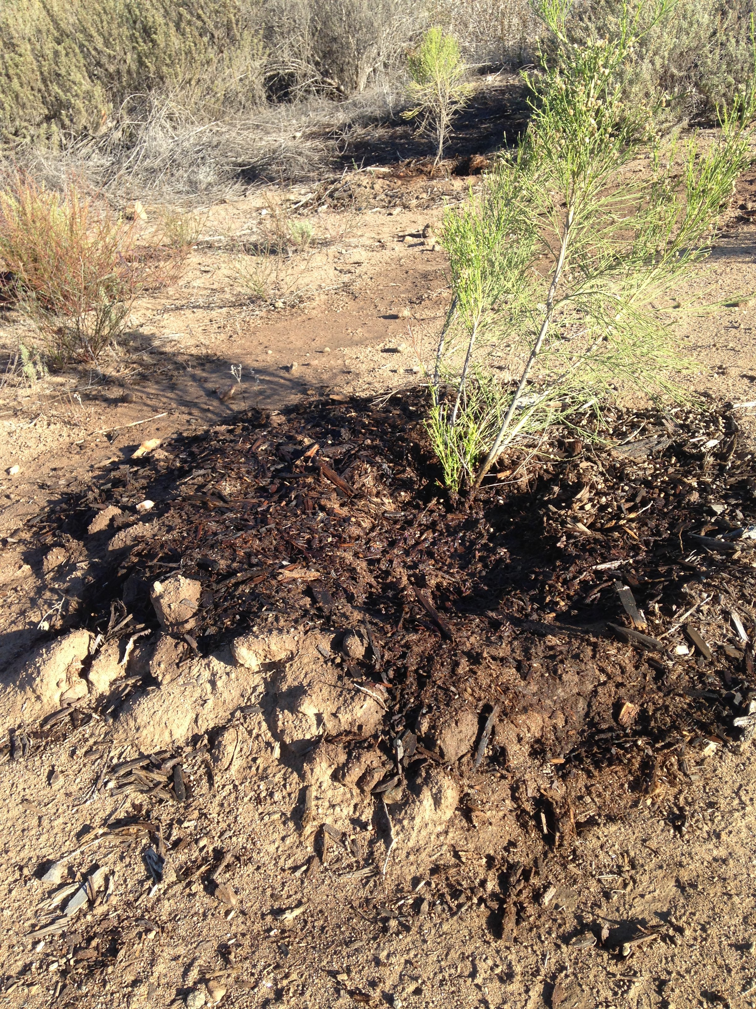 Deep Well Planting with Mulch - SDGE