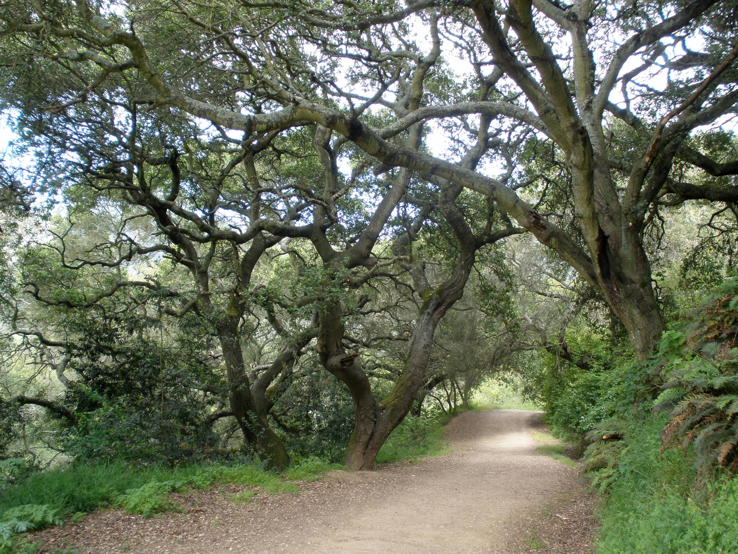 Beautiful Oak Trees