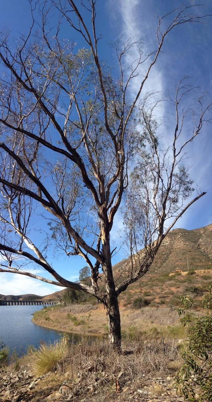 Unhealthy Eucalyptus Tree