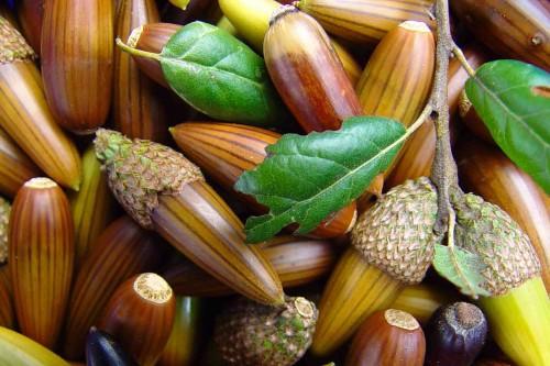 live-oak-acorns_edited-500x333.jpg