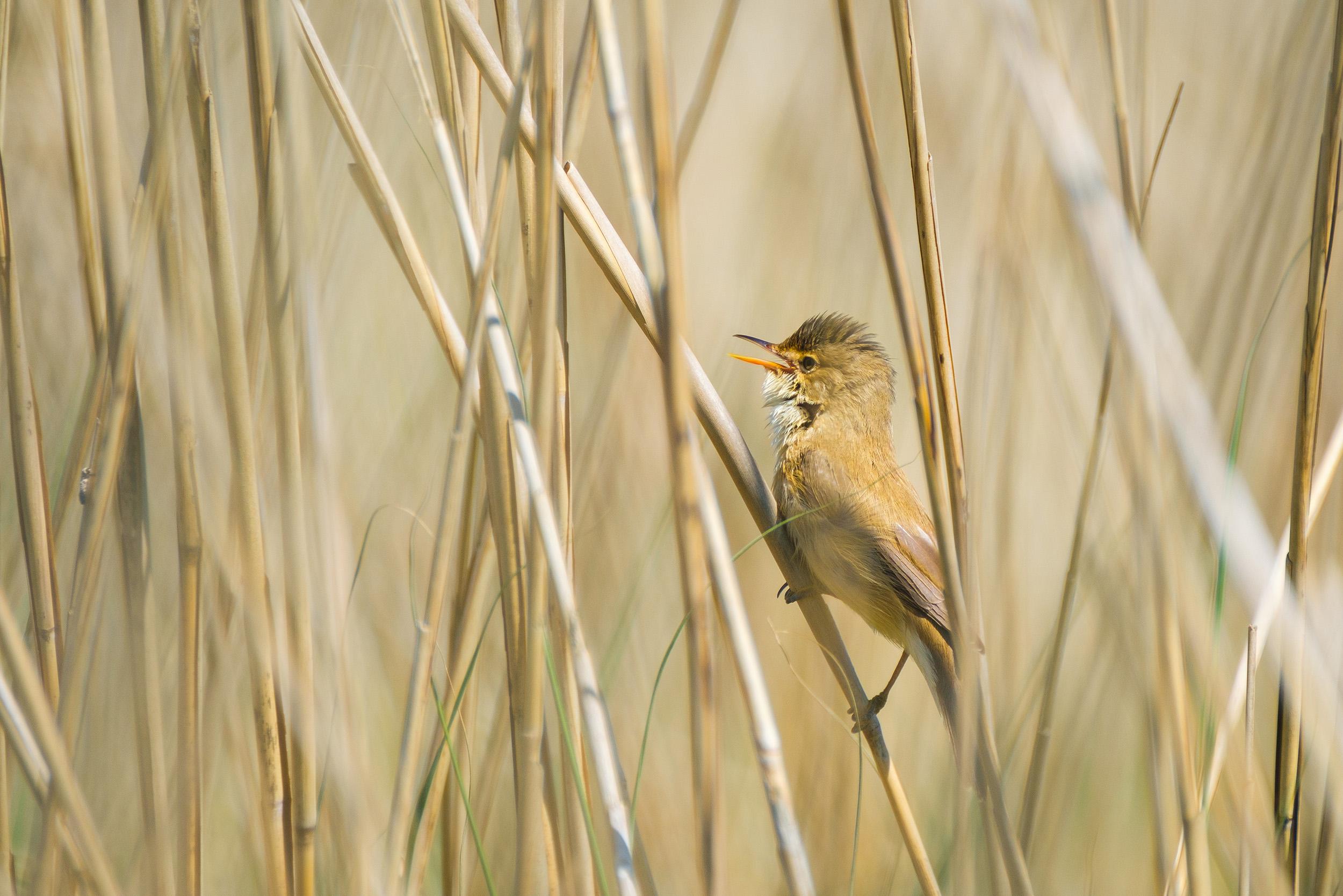 Great reed warbler (Grote Karekiet)