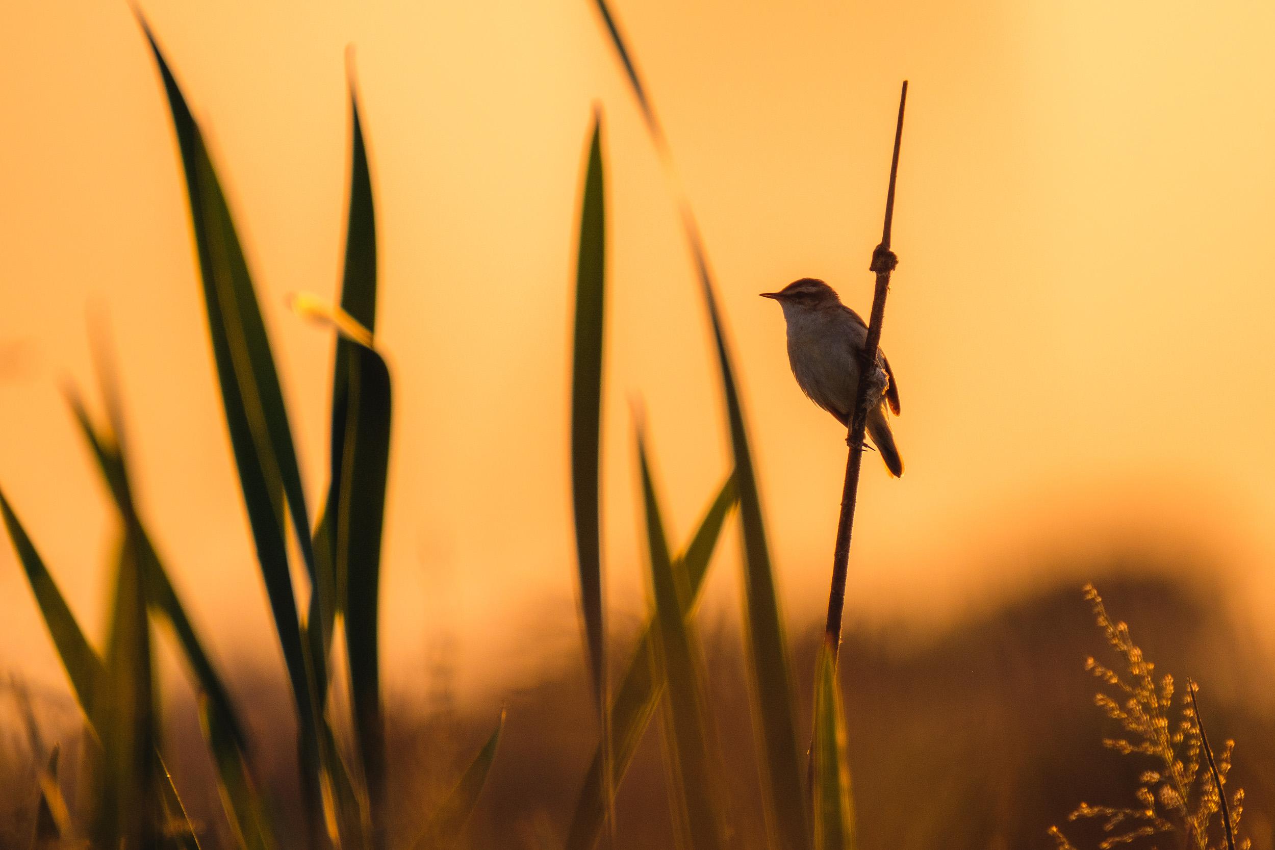 Sedge warbler (Rietzanger)