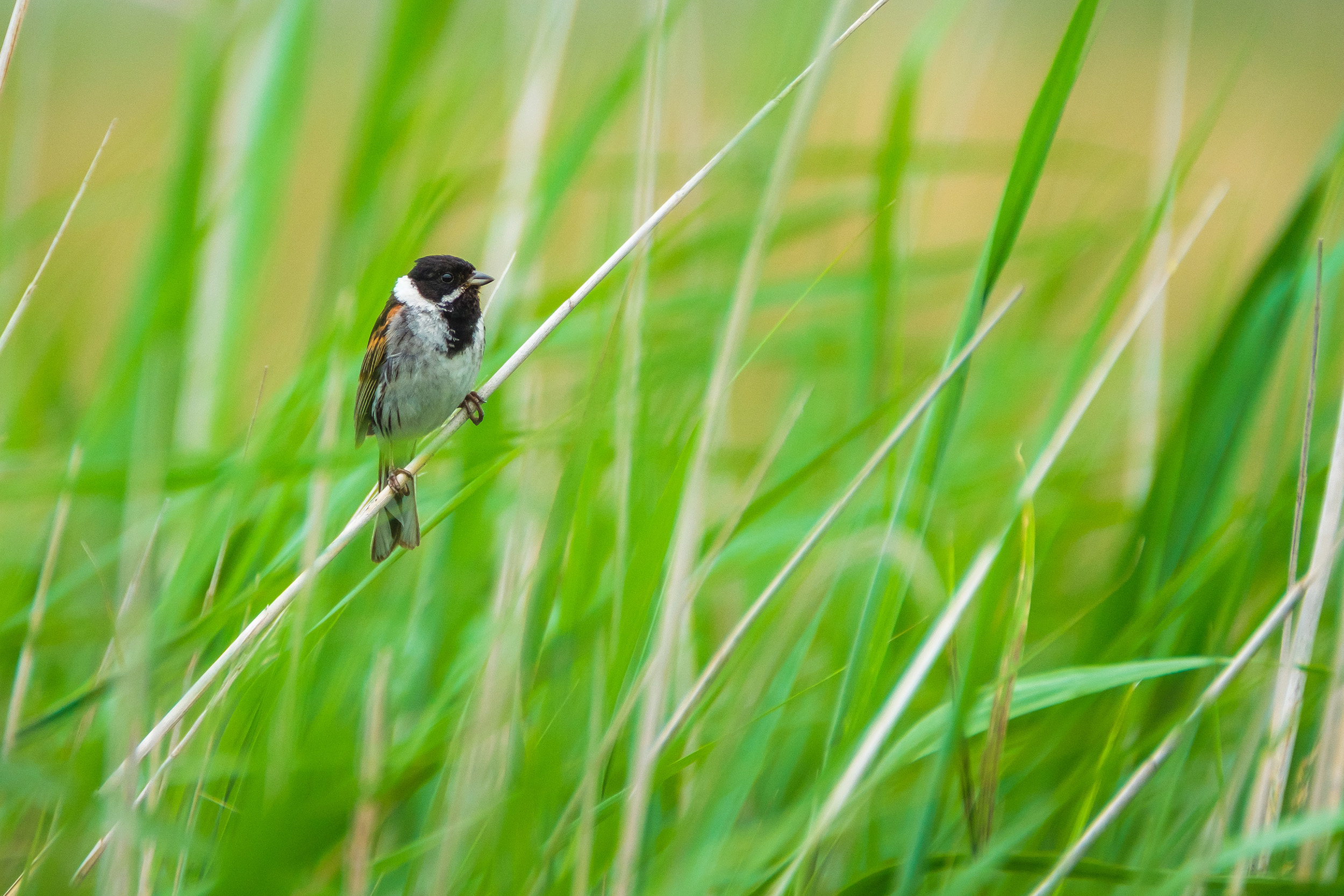 Common reed bunting (Rietgors)