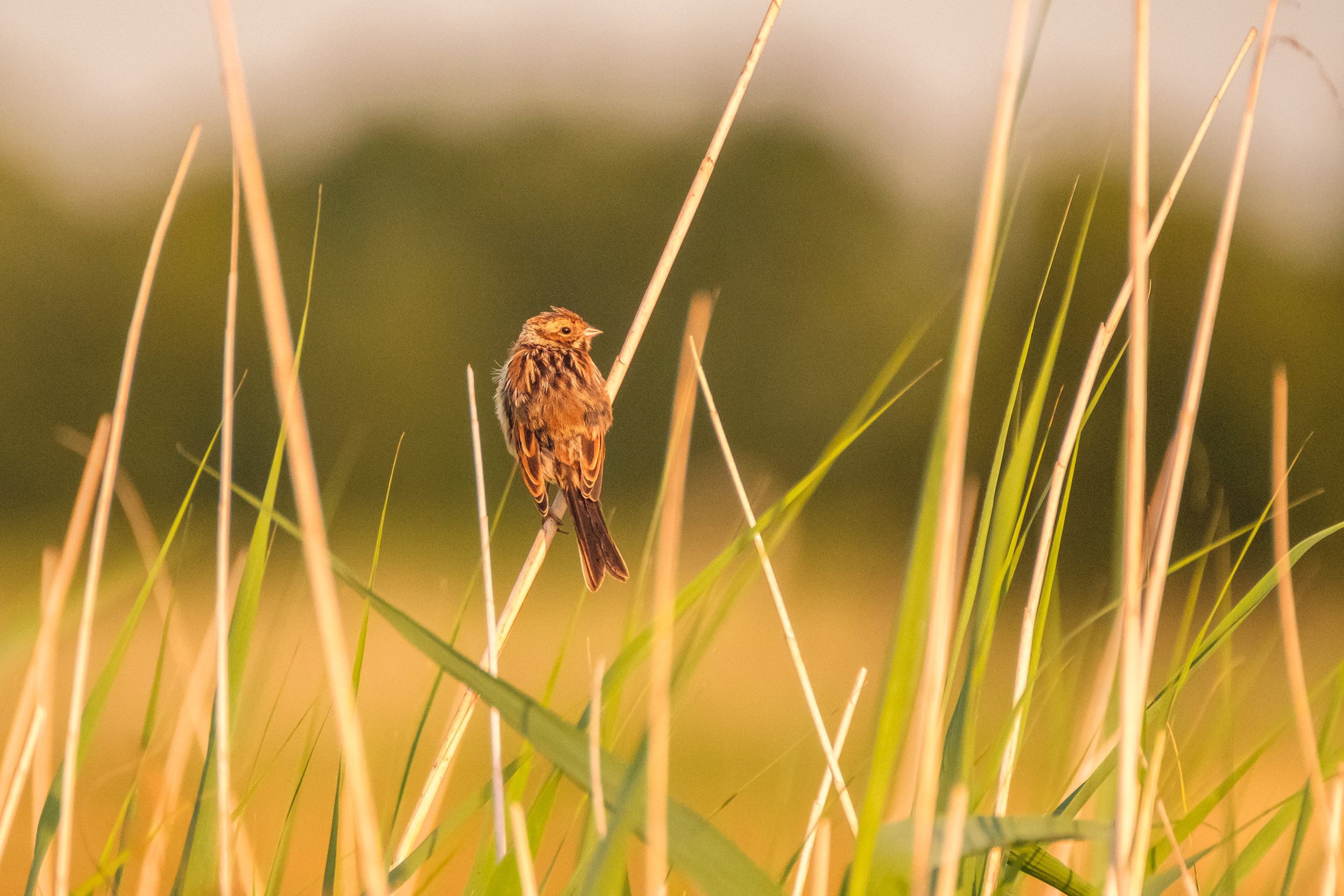 juvenile Common reed bunting (jonge Rietgors)