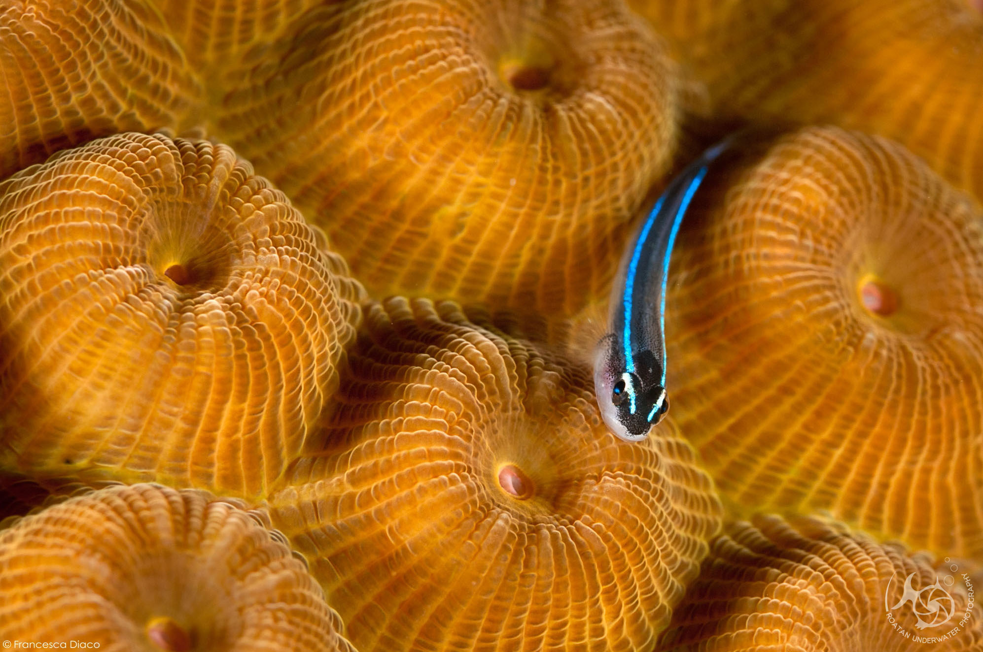 Francesca'a photo of a Caribbean Neon Goby appeared in the 2nd quarter 2015 edition of  The Undersea Journal.