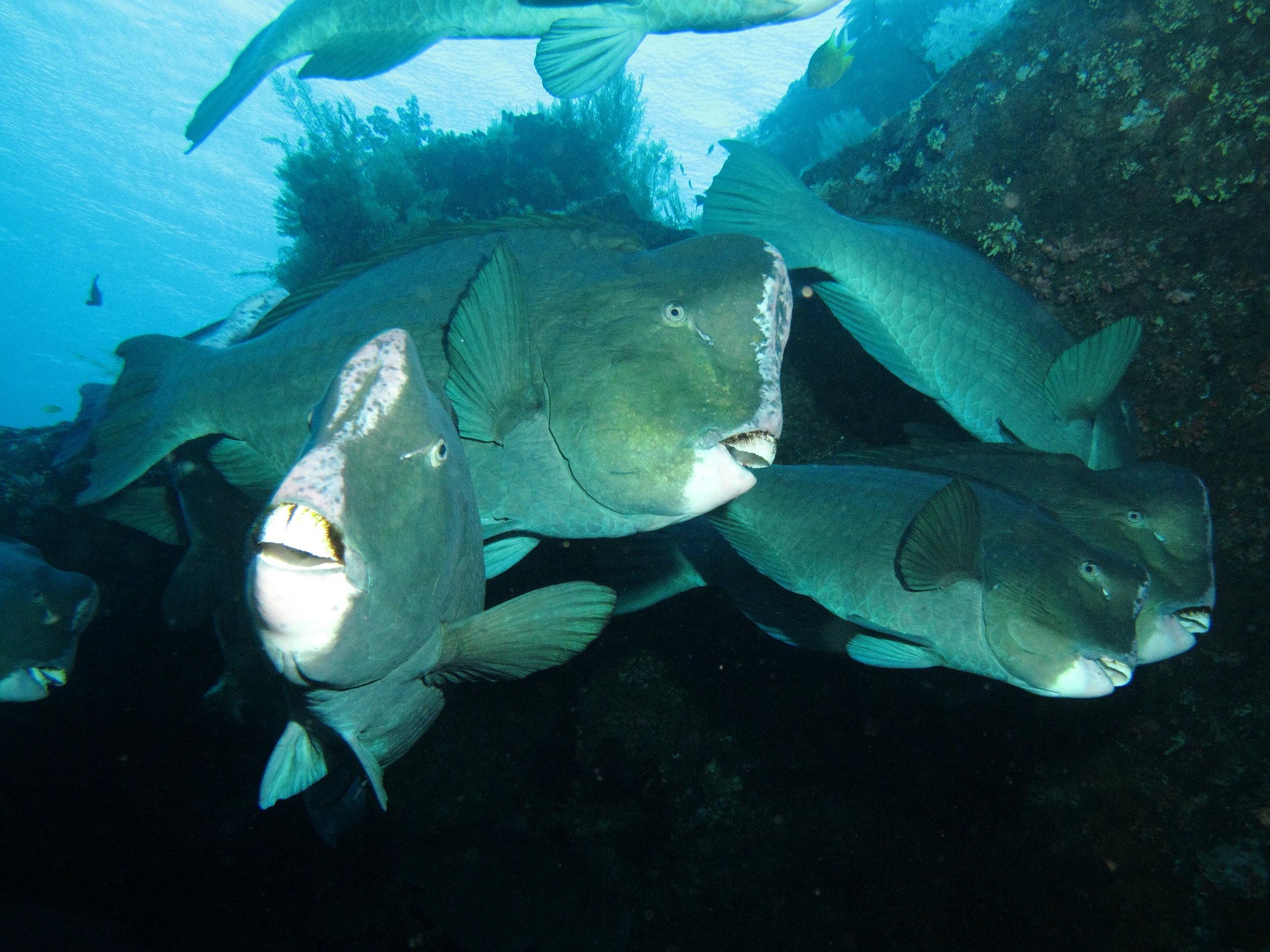 Forgotten Islands - Bumphead Parrotfish.jpg