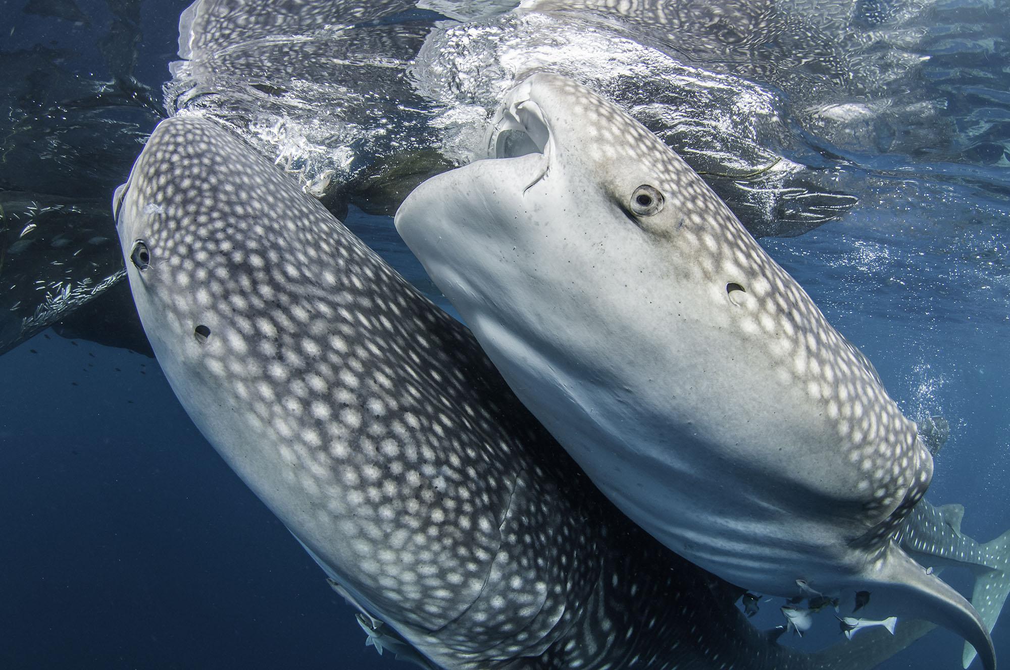 Triton Bay - Whale Shark.jpg