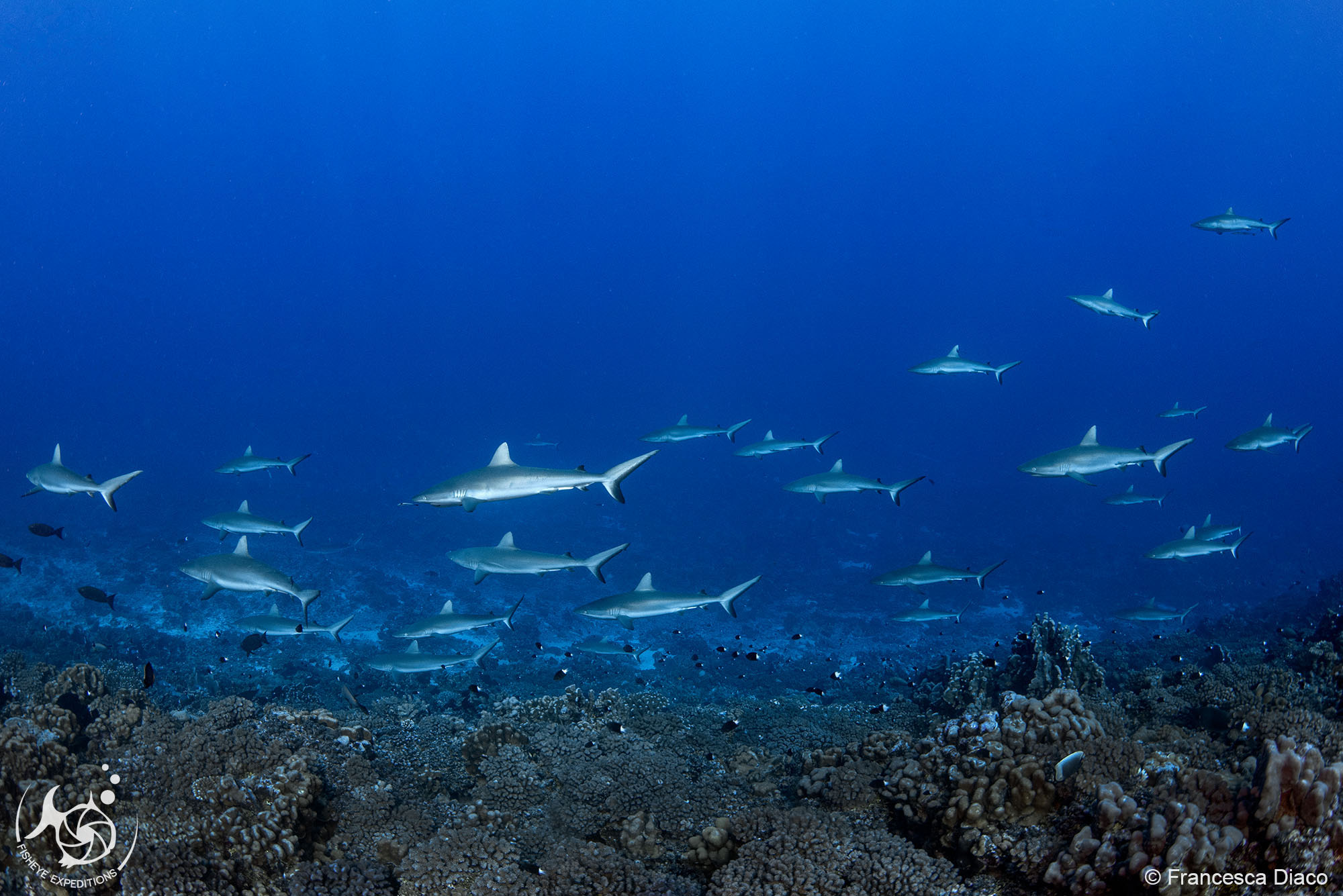 "The legendary ""wall of sharks"" a the Shark Observatory in Fakarava's South Pass."