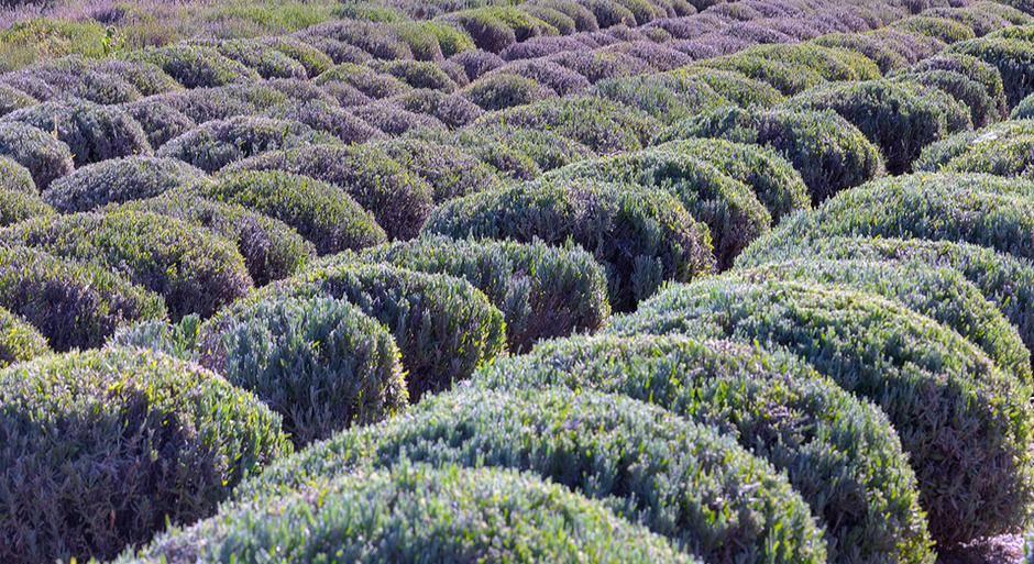photo_gallery_lavender-field__large.jpg