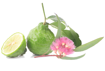 SEC5_bergmot_eucalyptus@2x.png