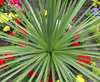 Dracaena_Spike_Plant_in_Garden.jpg