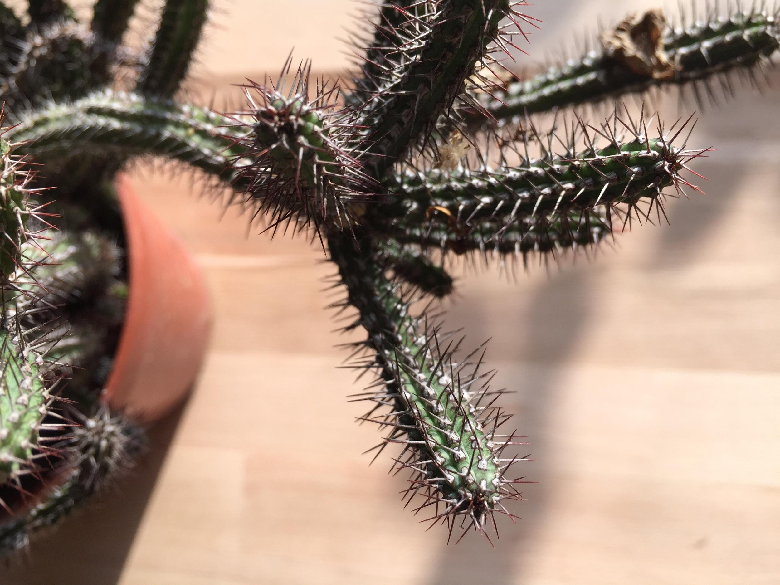 Euphorbie - ganze Glieder abbrechen / schneiden, austropfen und Narbe trocken werden lassen, dann in Erde stecken und laaaaaange warten.