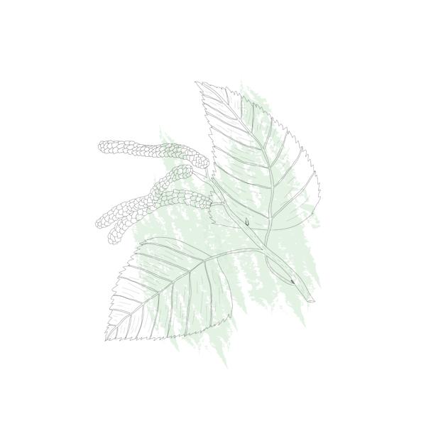 pflanzenwissen birkenblätter