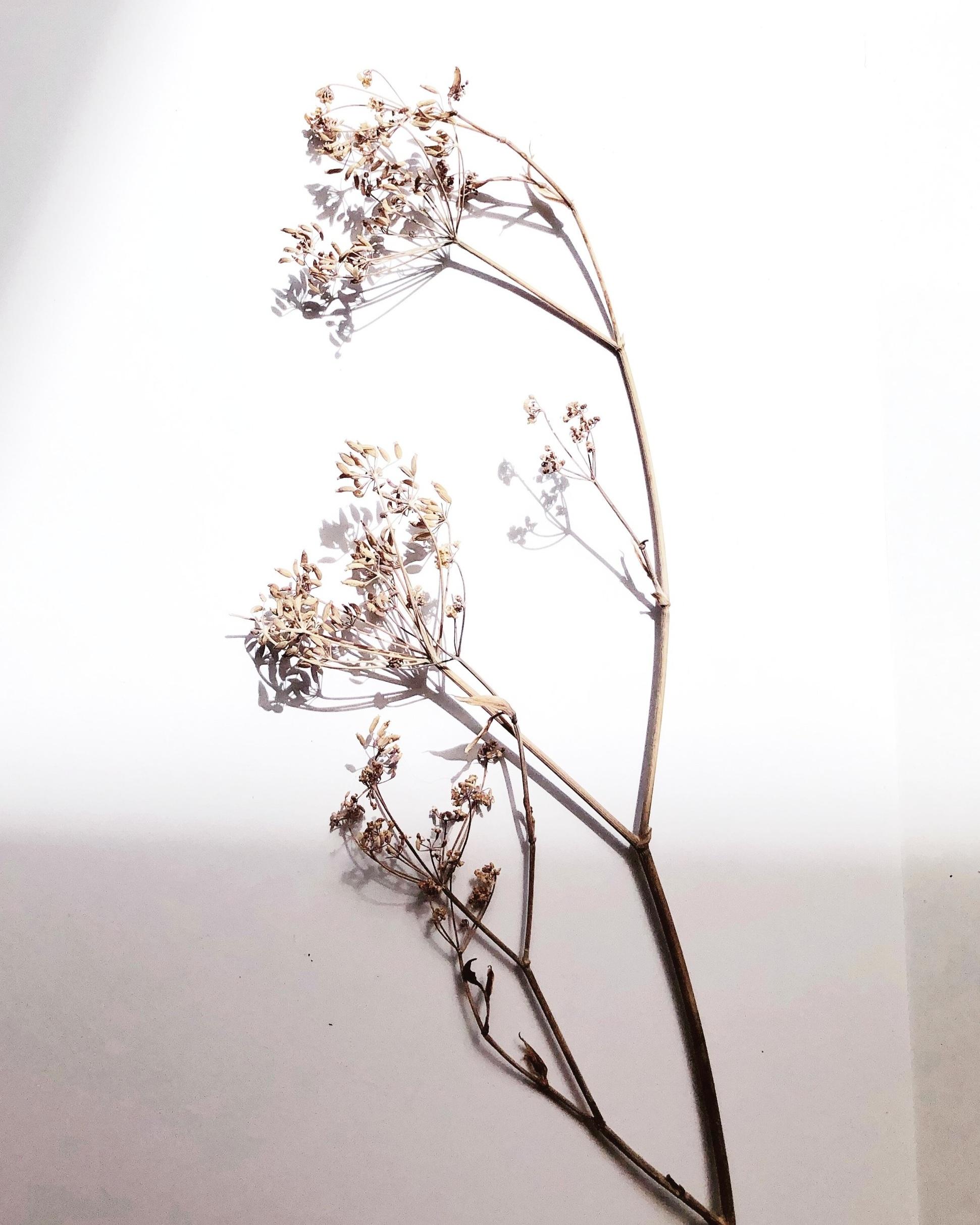 Kräuterwissen Fenchel Wildkräuter Heilpflanzen sammeln