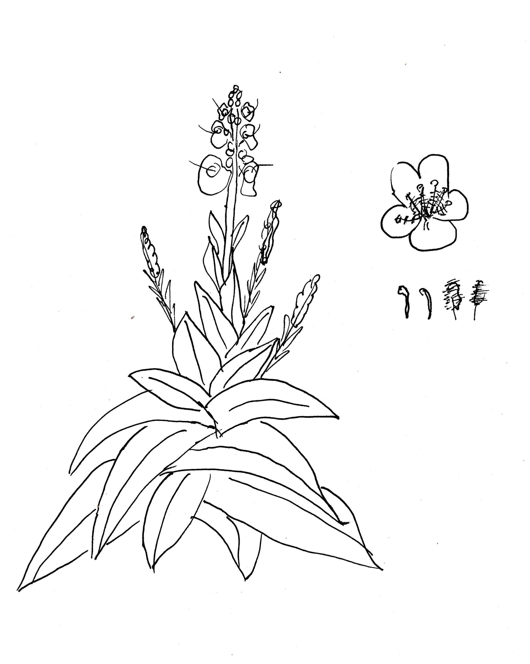 Kr%C3%A4uterwissen+Wollblume+K%C3%B6nigskerze+Wildkr%C3%A4uter+Heilpflanzen+sammeln