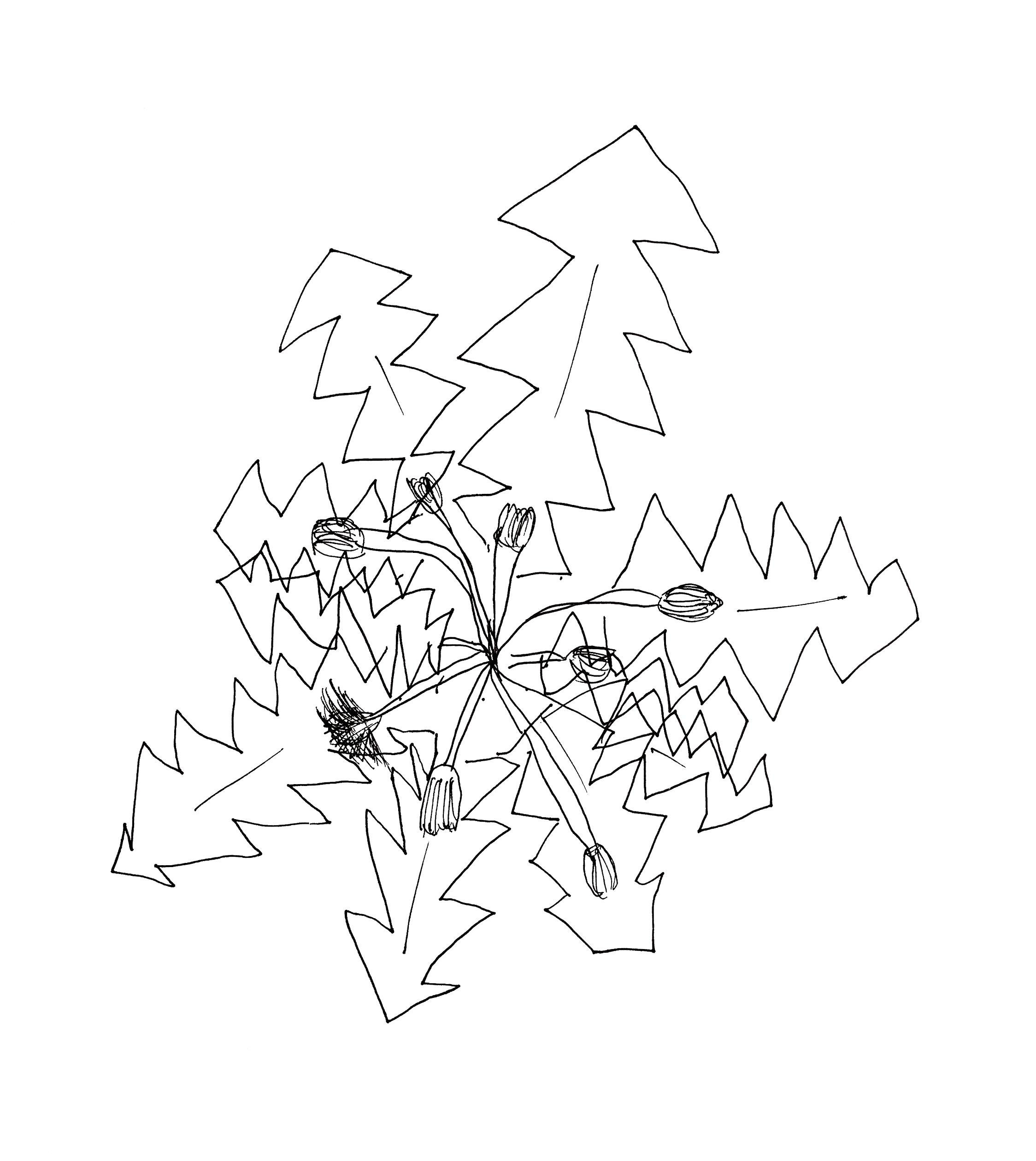 Kräuterwissen Löwenzahn Wildkräuter Heilpflanzen sammeln