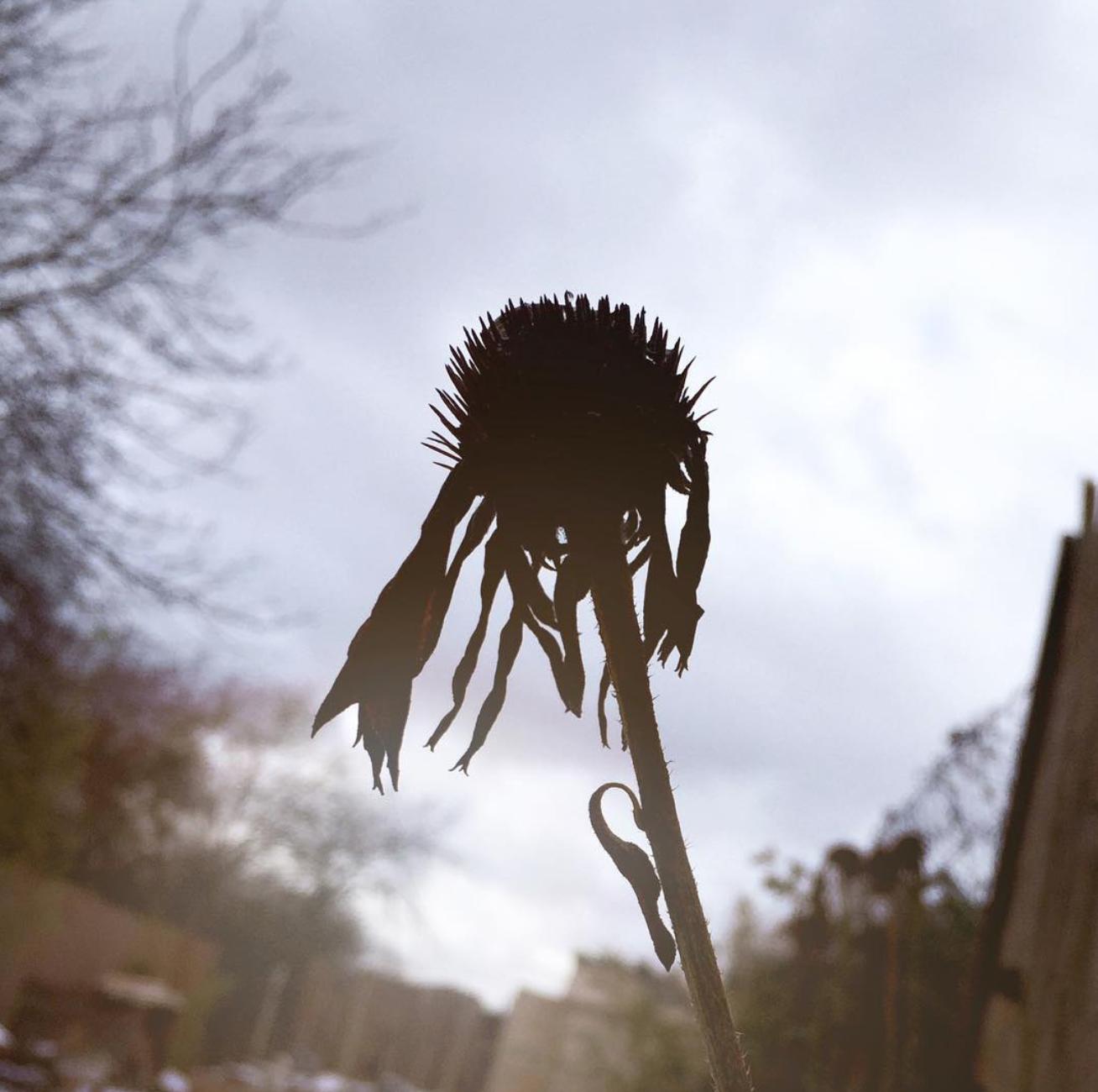 Echinacea-purpursonnenhut-sonnenhut-Wildkräuter-sammeln-Tee-selbst-herstellen-diy