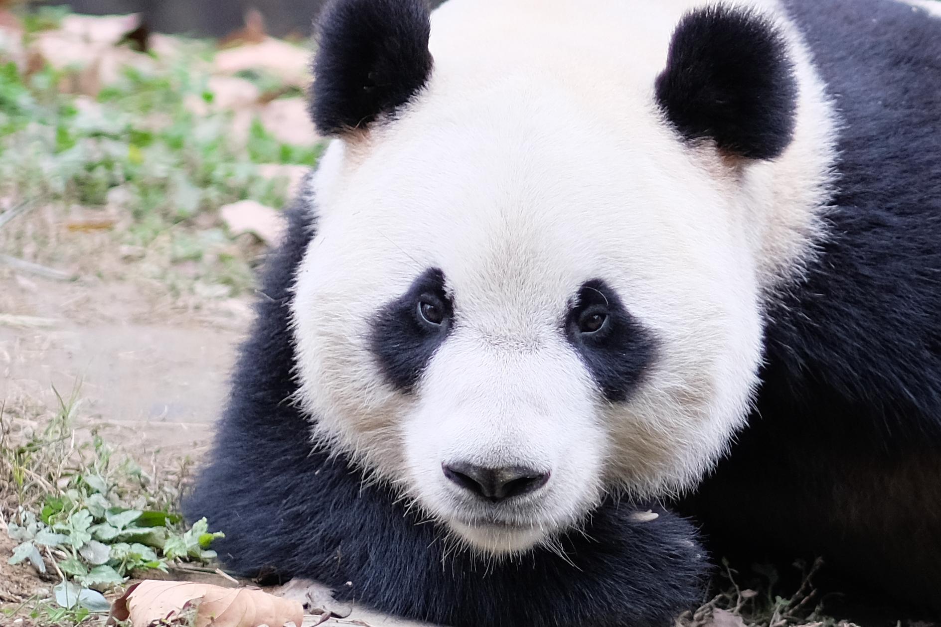 My Dream Job: Panda Keeper at dujiangyan panda base - March 4th, 2017