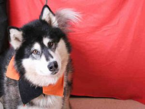 Katarra is a 10 year old pure bred Alaskan Malamute. She needs a home as an only dog as she is choosy about her dog friends. She needs to be kept on a leash whilst out walking and on a runner when left in a yard because like most Malamutes she is great at escaping.   Katarra is available for adoption at El Dorado Co. Animal Services – S. Lake Tahoe