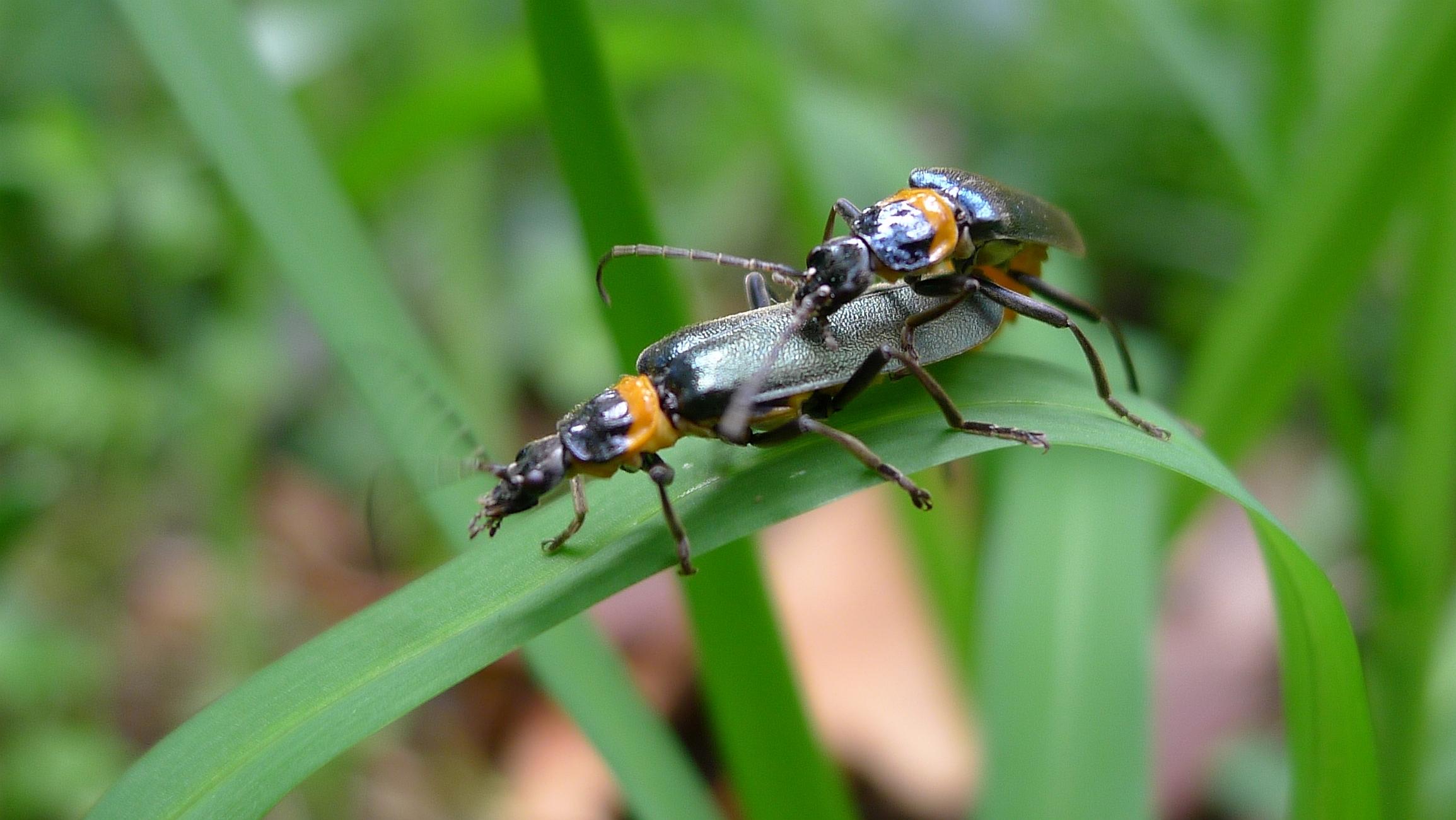 Chauliognathus   lugubris |  John Tann/Wikimedia Commons  [ CC BY 2.0 ]
