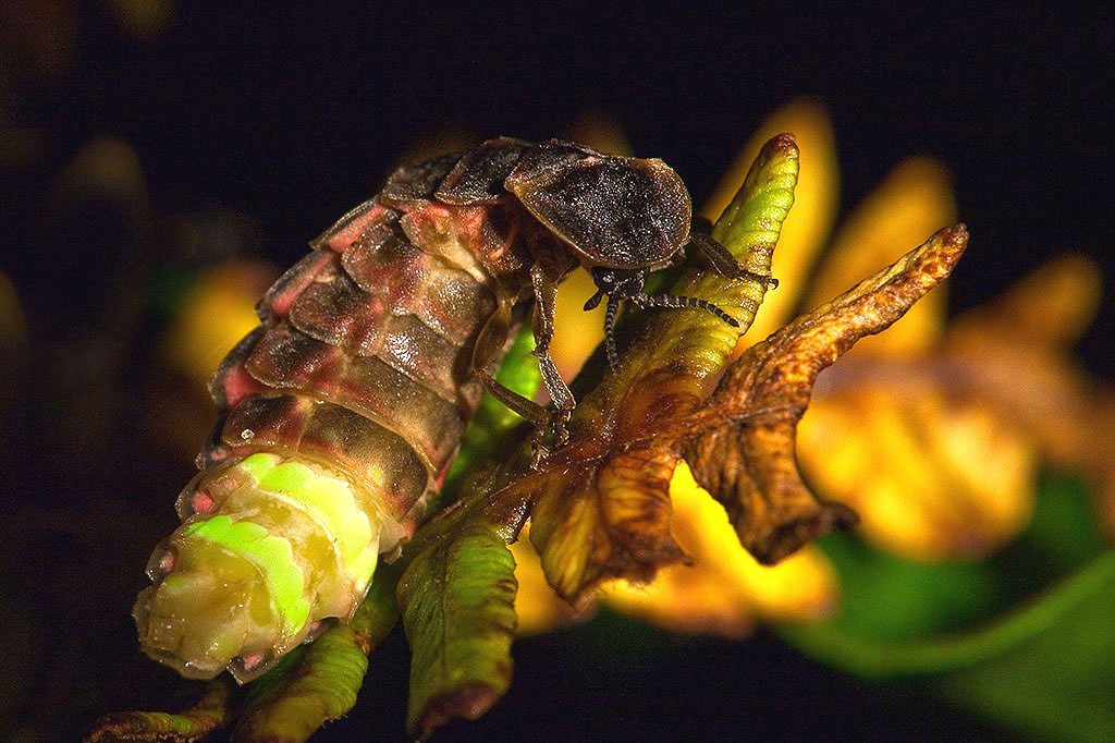 Lampyris noctiluca  |  David Evans/Wikimedia Commons  [ CC BY 2.0 ]