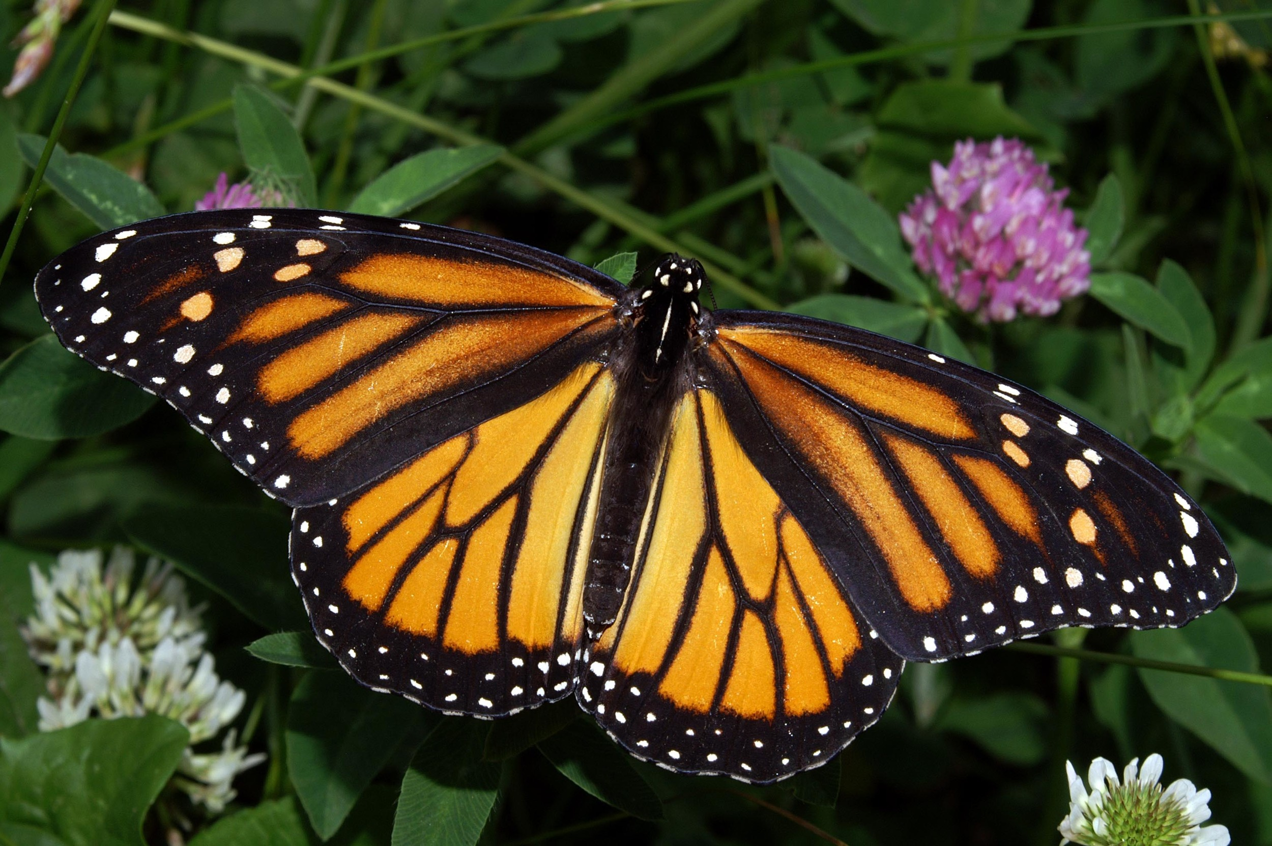 Danaus plexippus  |  Kenneth Dwain Harrelson/Wikimedia Commons  [CC BY-SA 3.0]