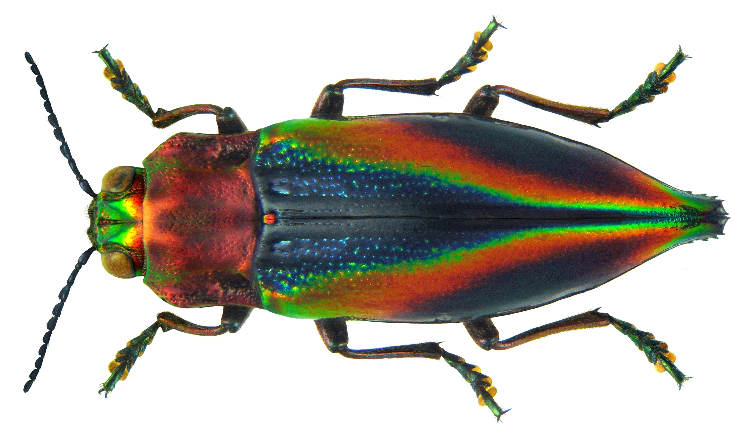 Cyphogastra javanica  |  Udo Schmidt/Wikimedia Commons  [ CC BY-SA 2.0 ]