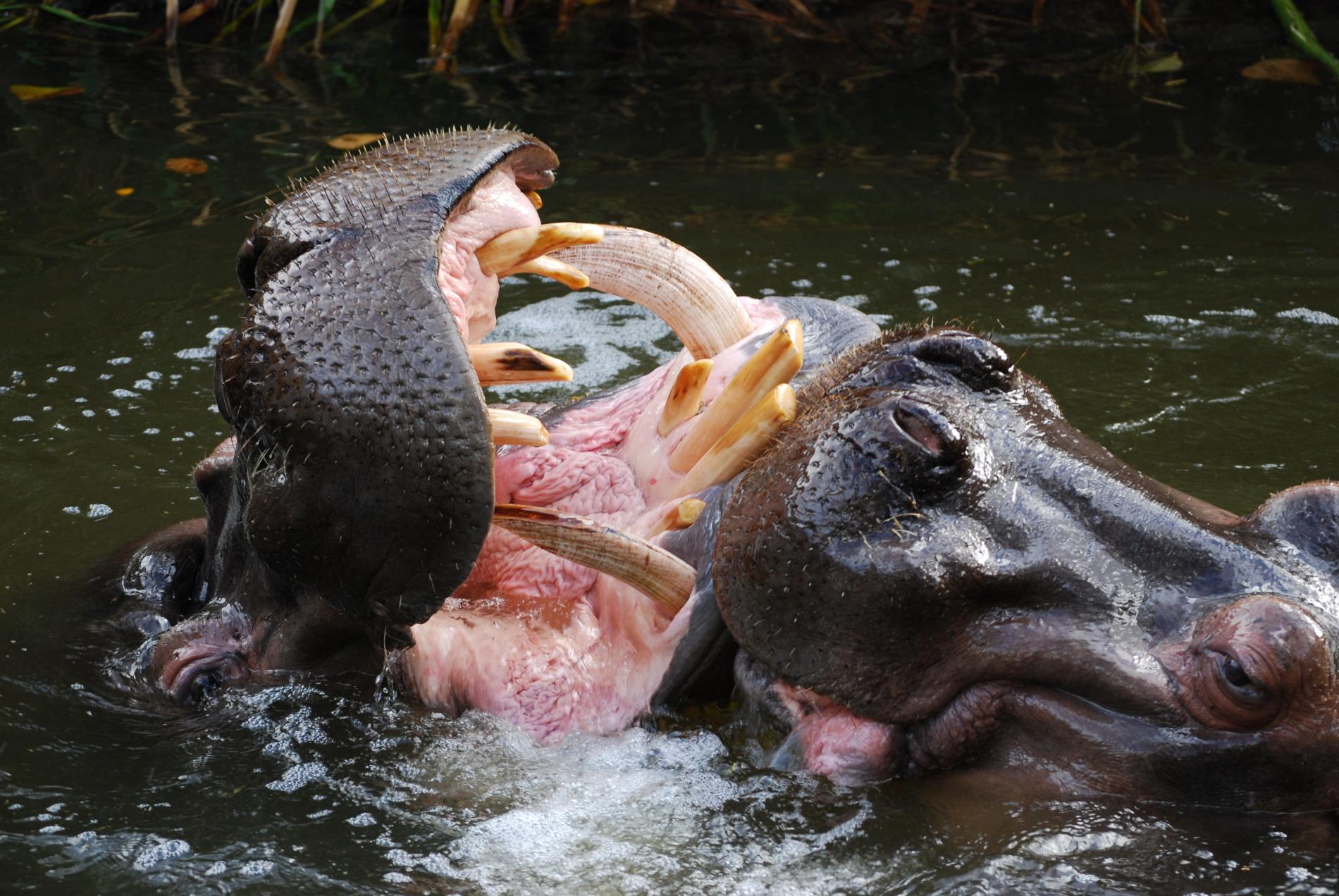 Hippopotamus amphibius |  Peripitus/Wikimedia Commons  [ CC BY-SA 3.0 ]