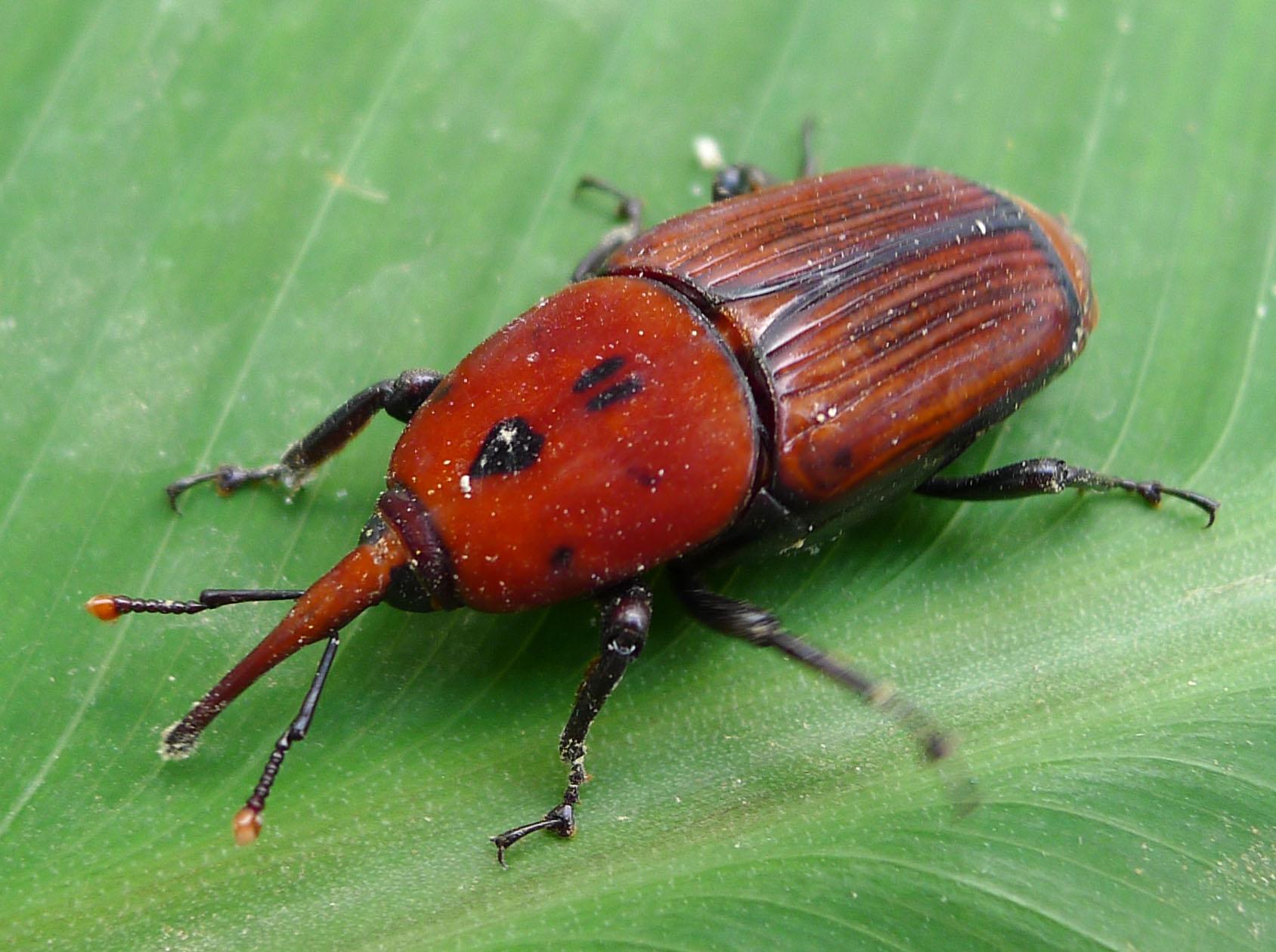 Rhynchophorus ferrugineus |  gailhampshire  /Flickr  [ CC BY 2.0 ]
