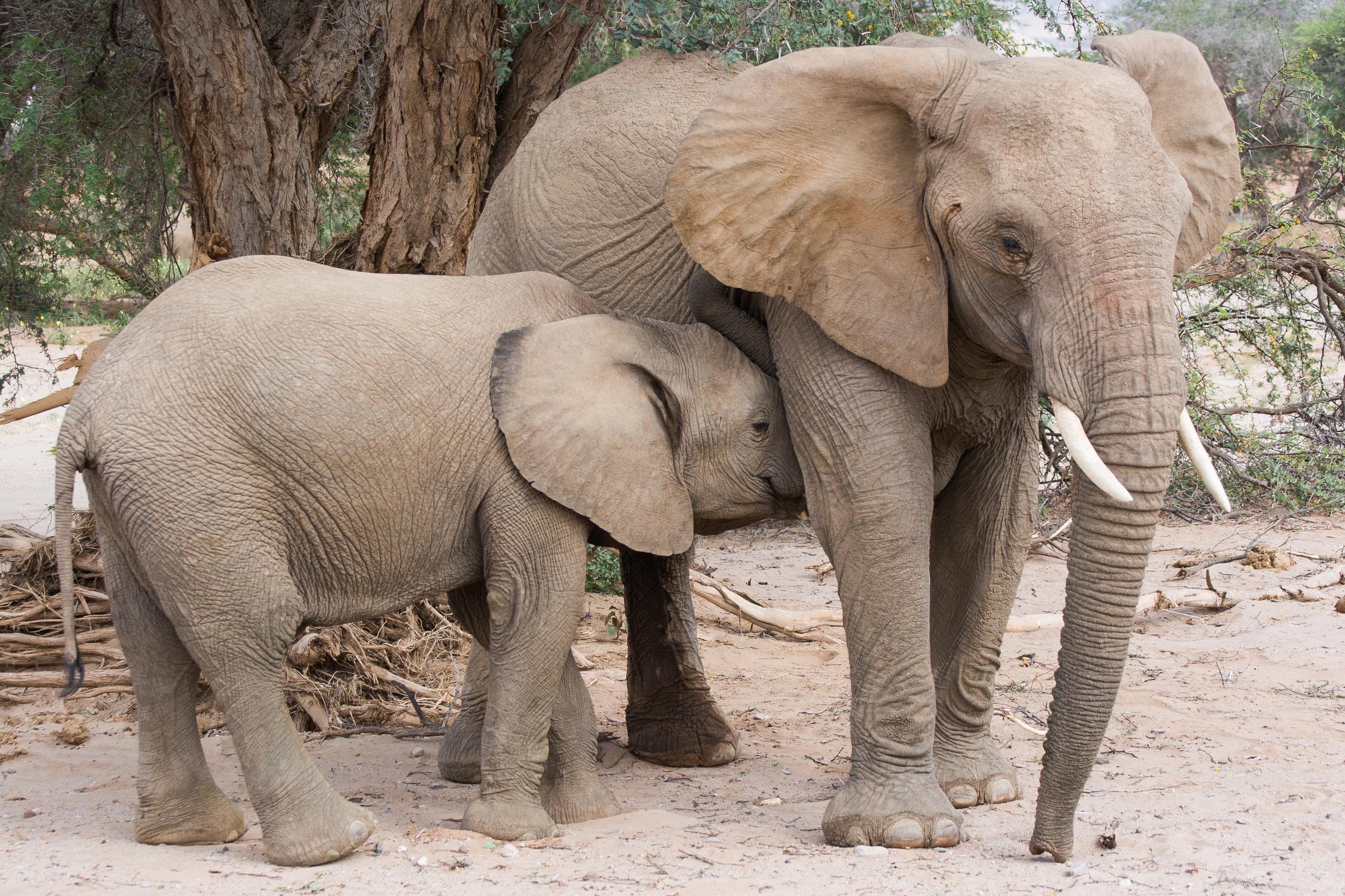 Loxodonta africana    Greg Willis/Wikimedia Commons  [ CC BY-SA 2.0 ]