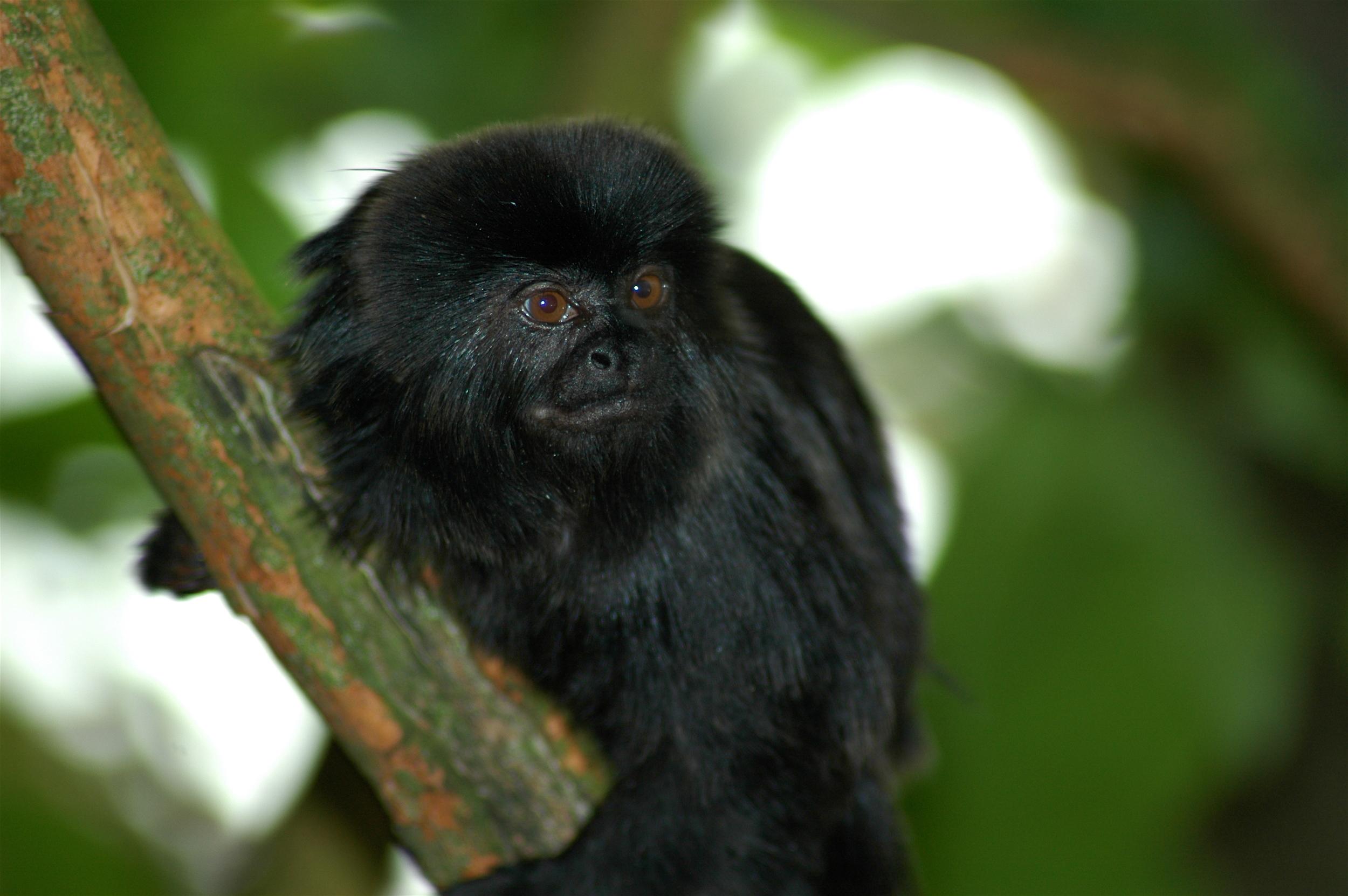 Titi monkey    Jeff Kubina/Wikimedia Commons  [ CC BY-SA 2.0 ]
