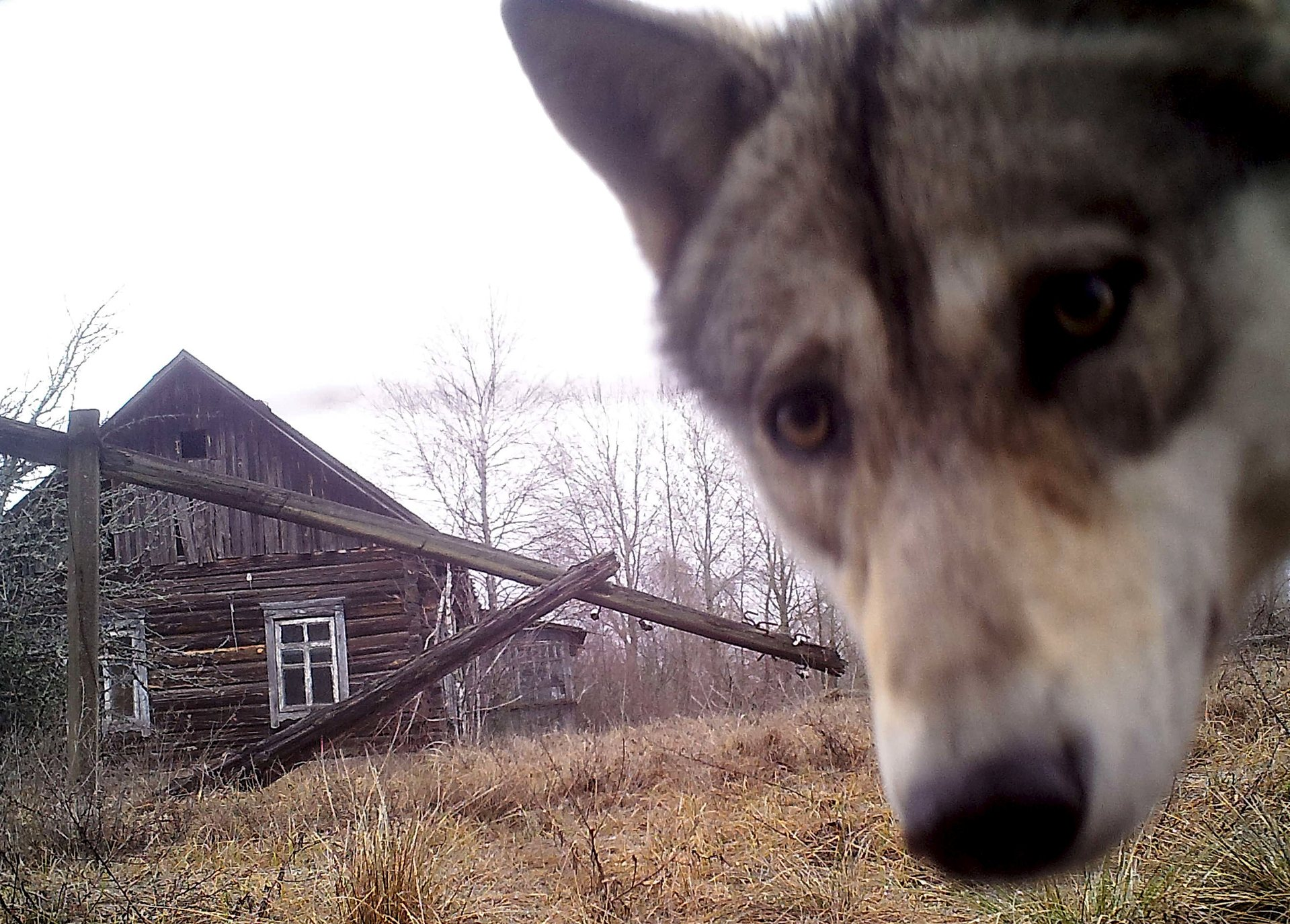 A wolf looks into the camera at the Chernobyl nuclear site in the abandoned village of Orevichi, Belarus    Vasily Fedosenko/Reuters
