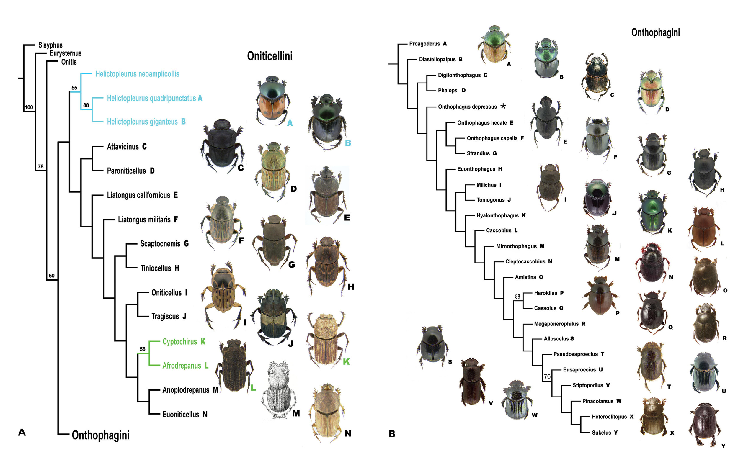 A, B Cladogram found using Piwe weighting with K values of 8-10. This topology is considered to be the best supported in this study. Bootstrap values above 50% found for nodes indicated. A Oniticellini. B Onthophagini. * = no taxon image | From  Philips 2016
