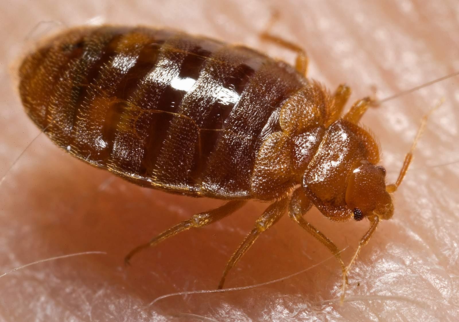 Bed bug nymph ( Cimex lectularius ) | [public domain]
