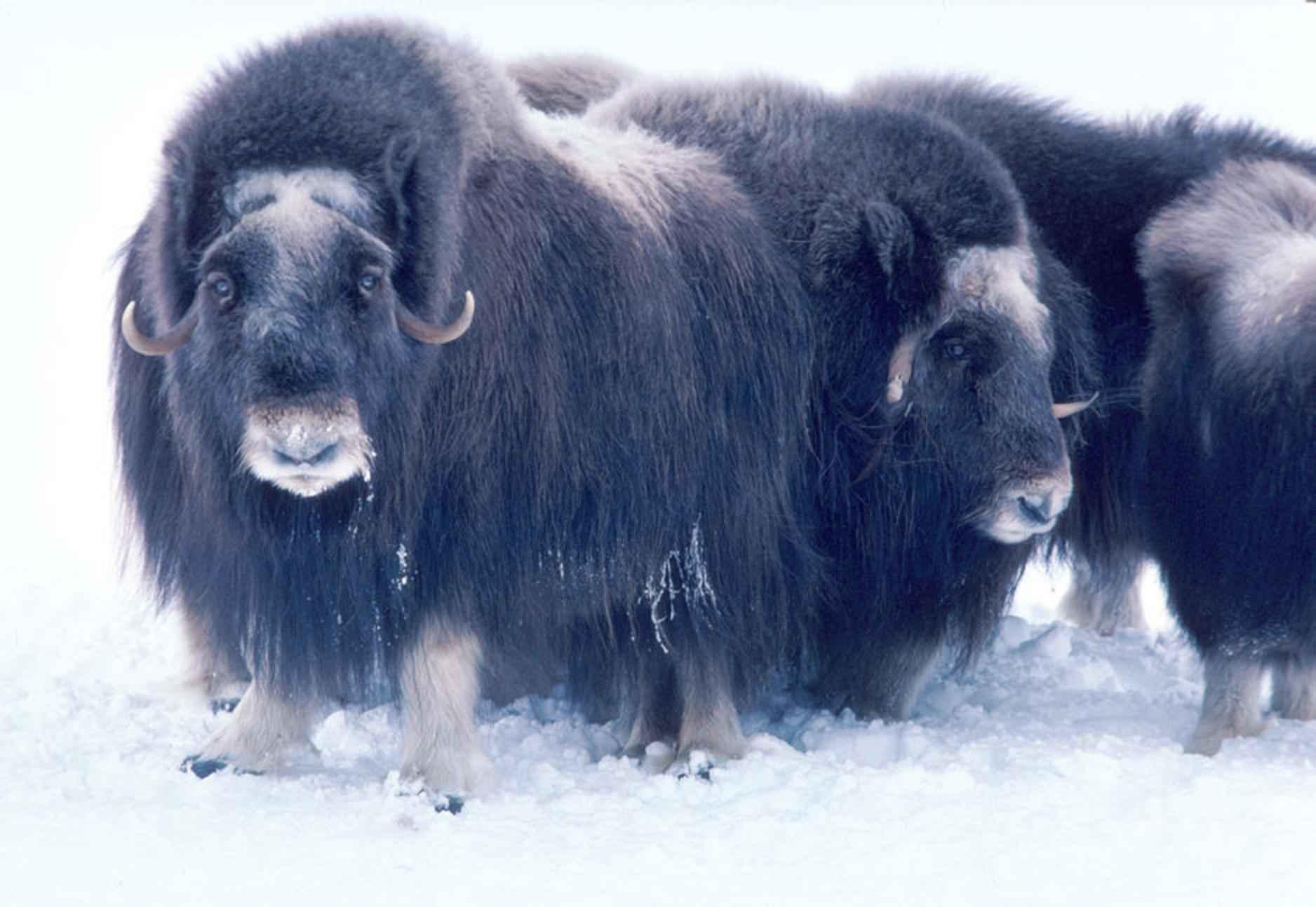 Adult musk ox bulls animals | [public domain]