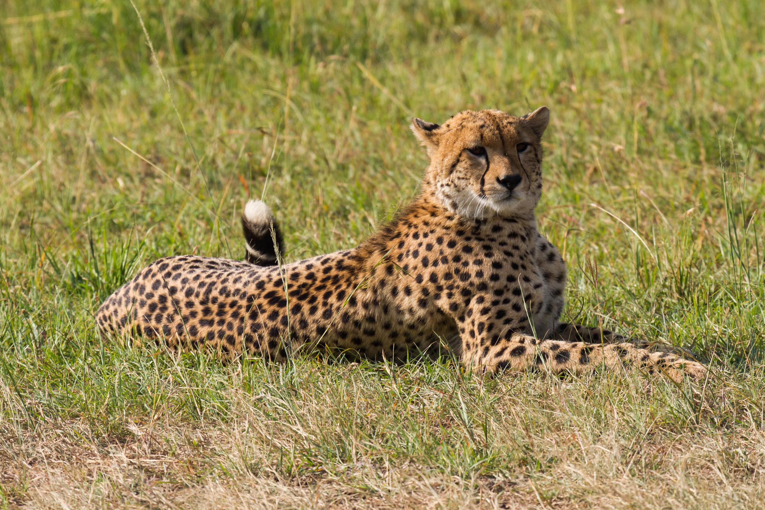 Cheetah in Masai Mara NP Kenya    Benh Lieu Song/Wikimedia Commons  [ CC BY-SA 2.0 ]